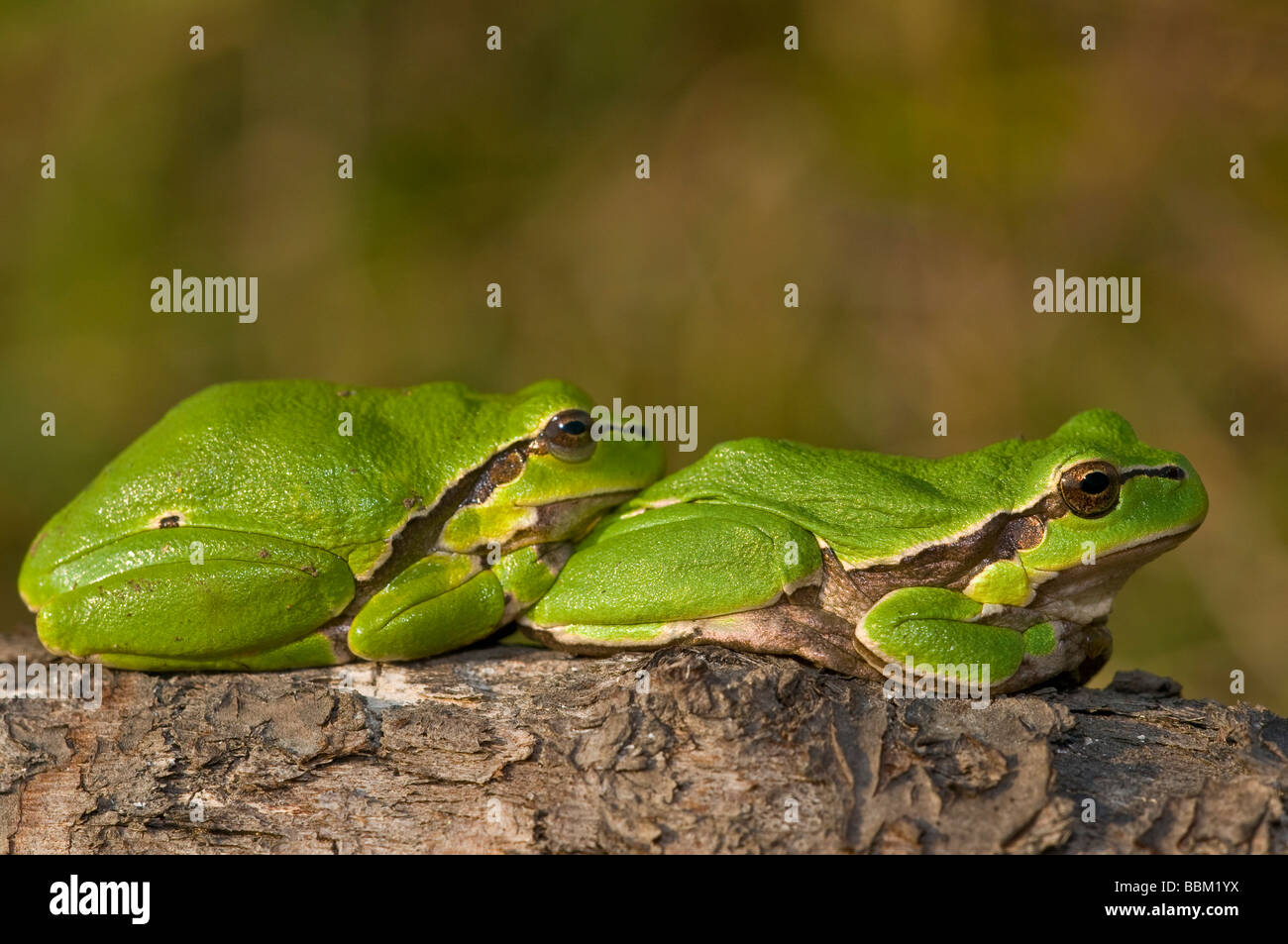gemeinsamen Laubfrosch (Hyla Arborea) Stockbild