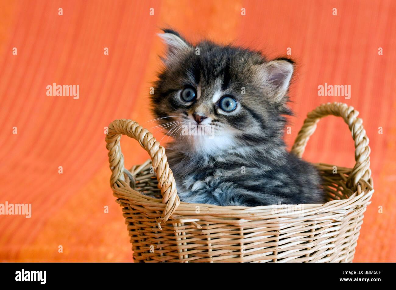 Hauskatze, Kätzchen Stockbild