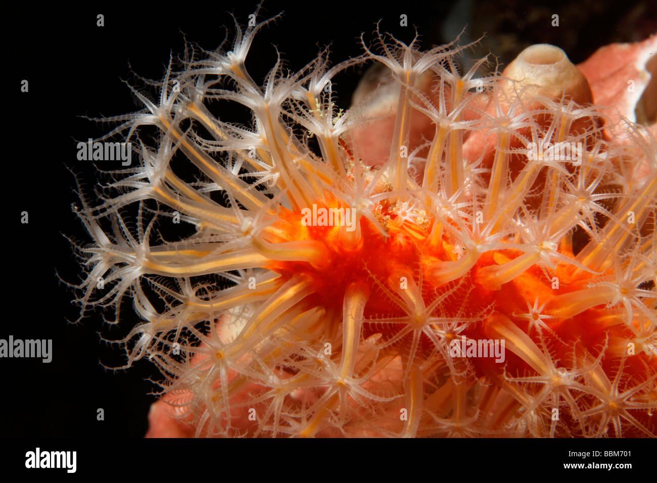 Veretillum weiche Koralle (Veretillum SP.) mit Polypen, Gangga Island, Inseln Bangka, Nord-Sulawesi, Indonesien, Stockbild