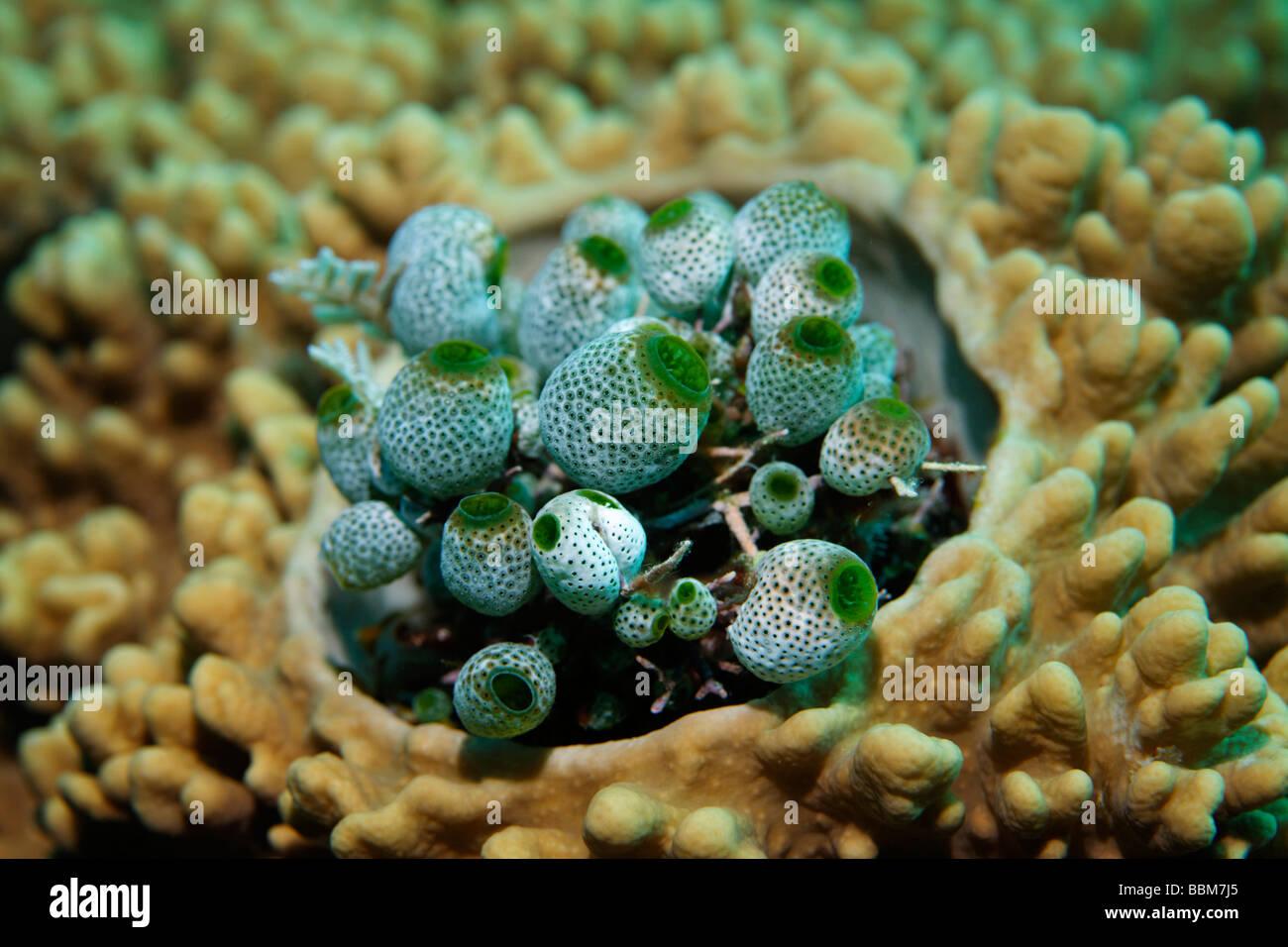 Meer Aquirts, Kolonie (Didemnum Molle) Ascidiants, Tuncates, Molukka Se, Gangga Island, Inseln Bangka, Nord-Sulawesi, Stockbild