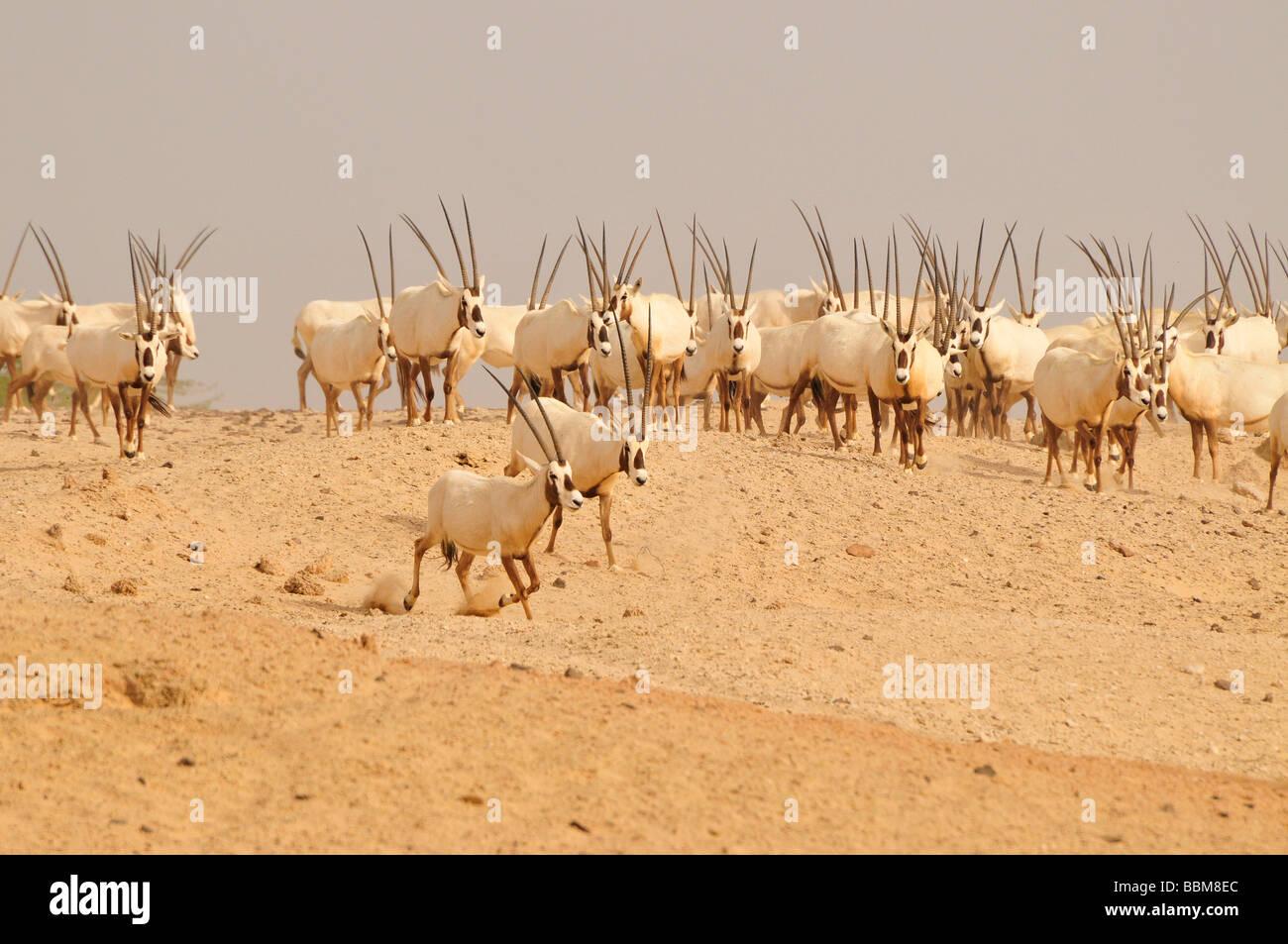 Arabische Oryx (arabischer Oryx), Sir Bani Yas Island, Abu Dhabi, Vereinigte Arabische Emirate, Arabien, Orient, Stockbild