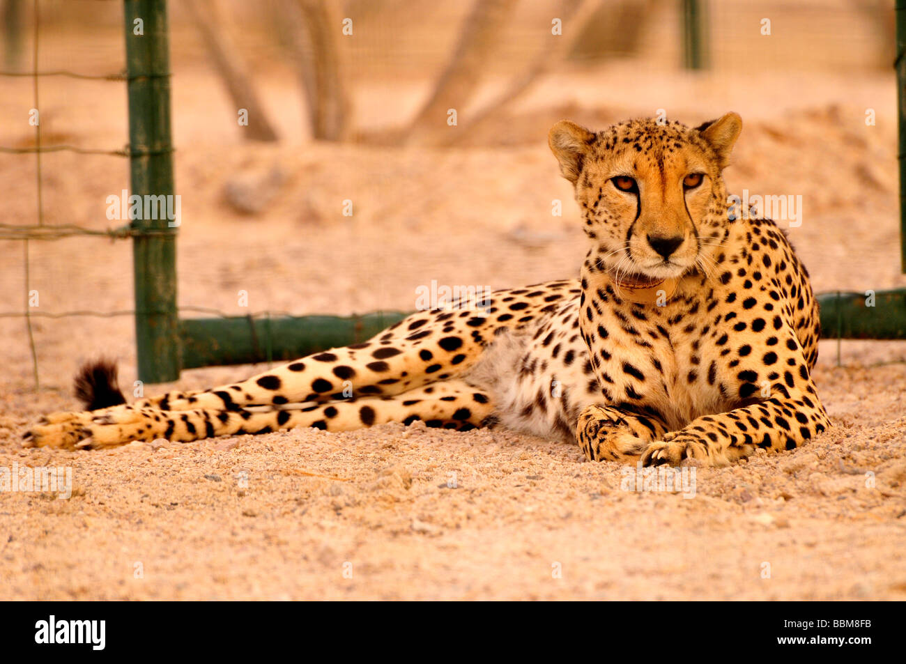 Gepard (Acinonyx Jubatus Soemmerring) in ein Vivarium, Sir Bani Yas Island, Abu Dhabi, Vereinigte Arabische Emirate, Stockbild