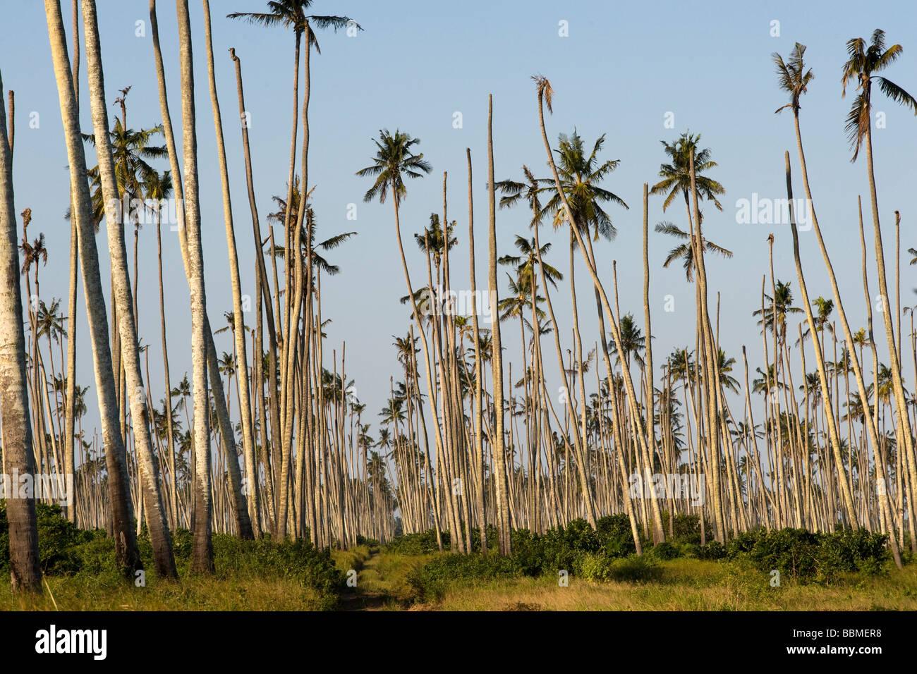 Kokospalmen sterben an einer Krankheit Quelimane Mosambik Stockbild