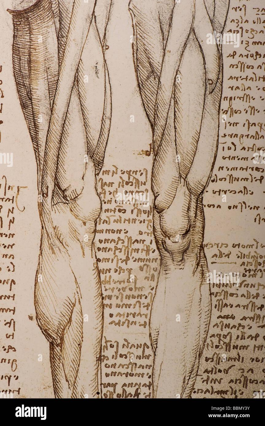 Vinci Leonardo Da Muscles Stockfotos & Vinci Leonardo Da Muscles ...