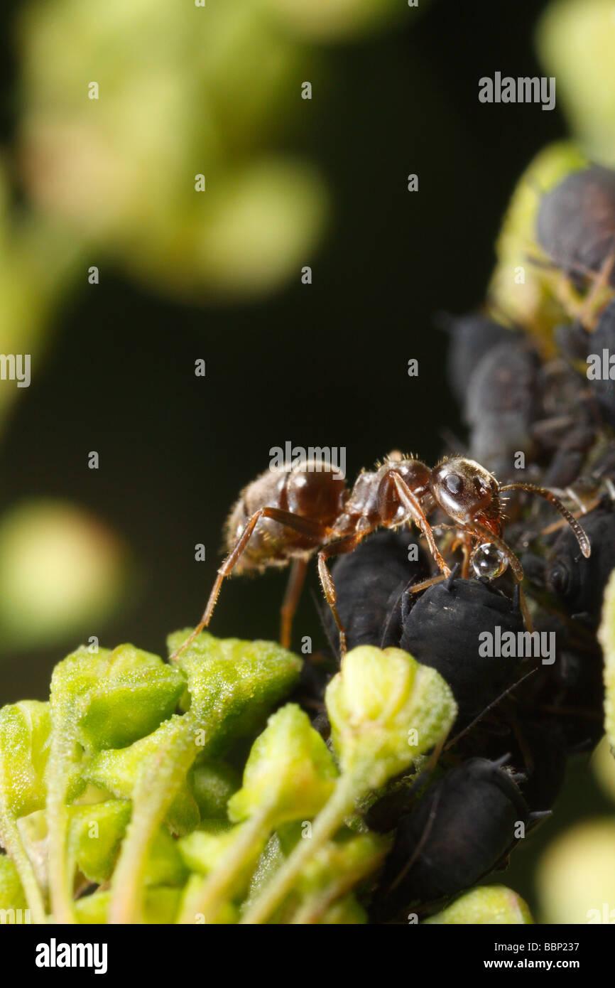 Schwarzer Garten Ameisen Lasius Niger Melken Mückenart Blattläuse
