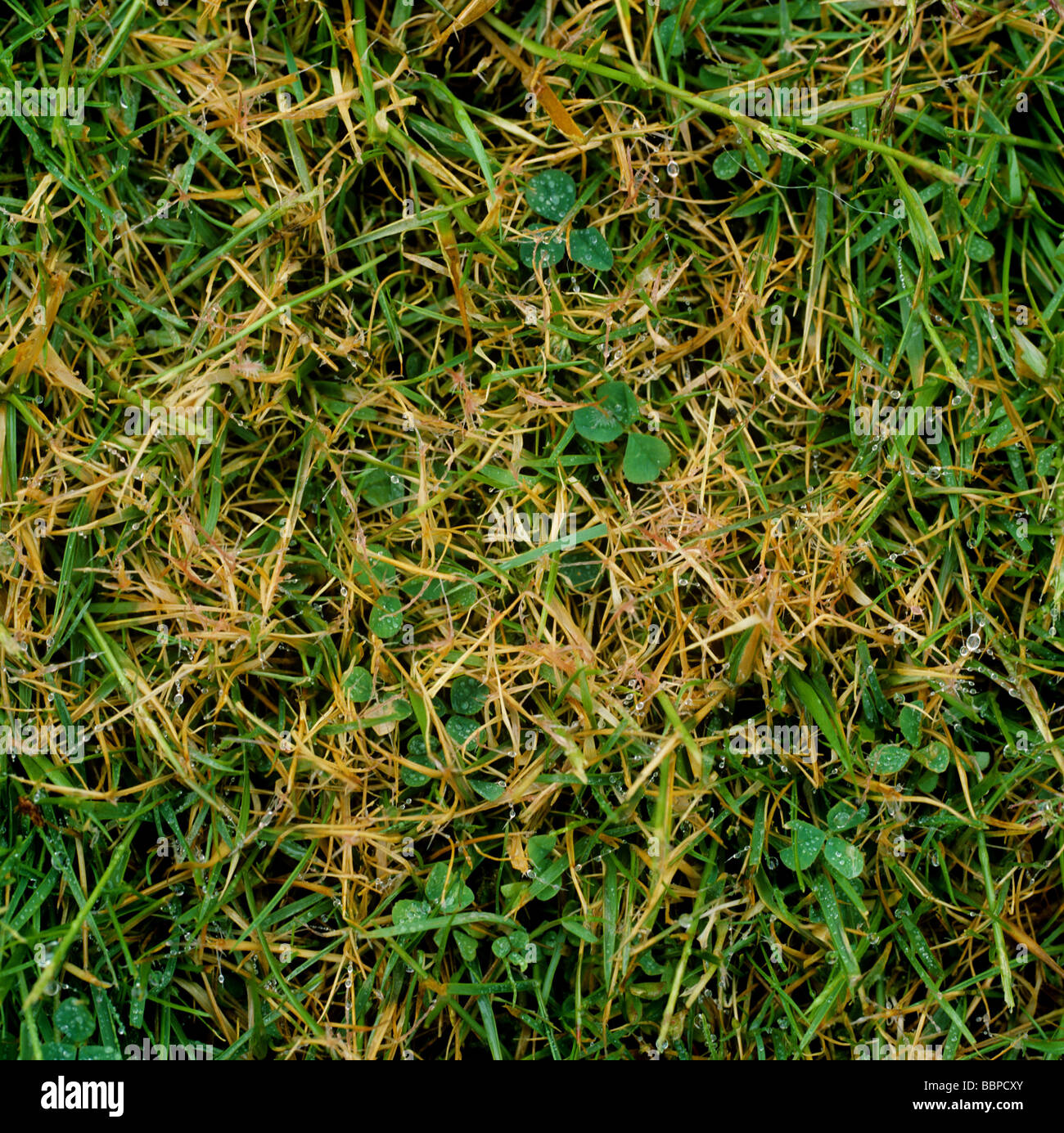 Kunstrasen Rasen Patch mit roter Faden Laetisaria Fuciformis Infektion Stockbild