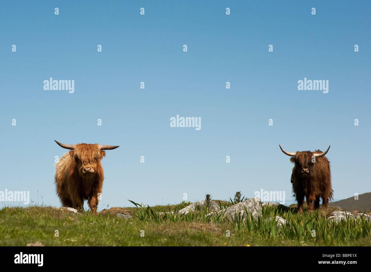 Highland Kühe auf Uist, Äußere Hebriden, Schottland Stockfoto