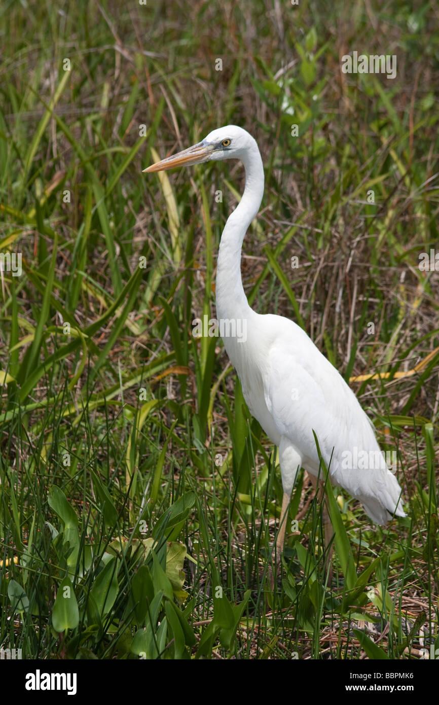 Große weiße Reiher und andere Vögel tummeln sich auf dem Anhinga Trail im Royal Palm in den Everglades Stockbild