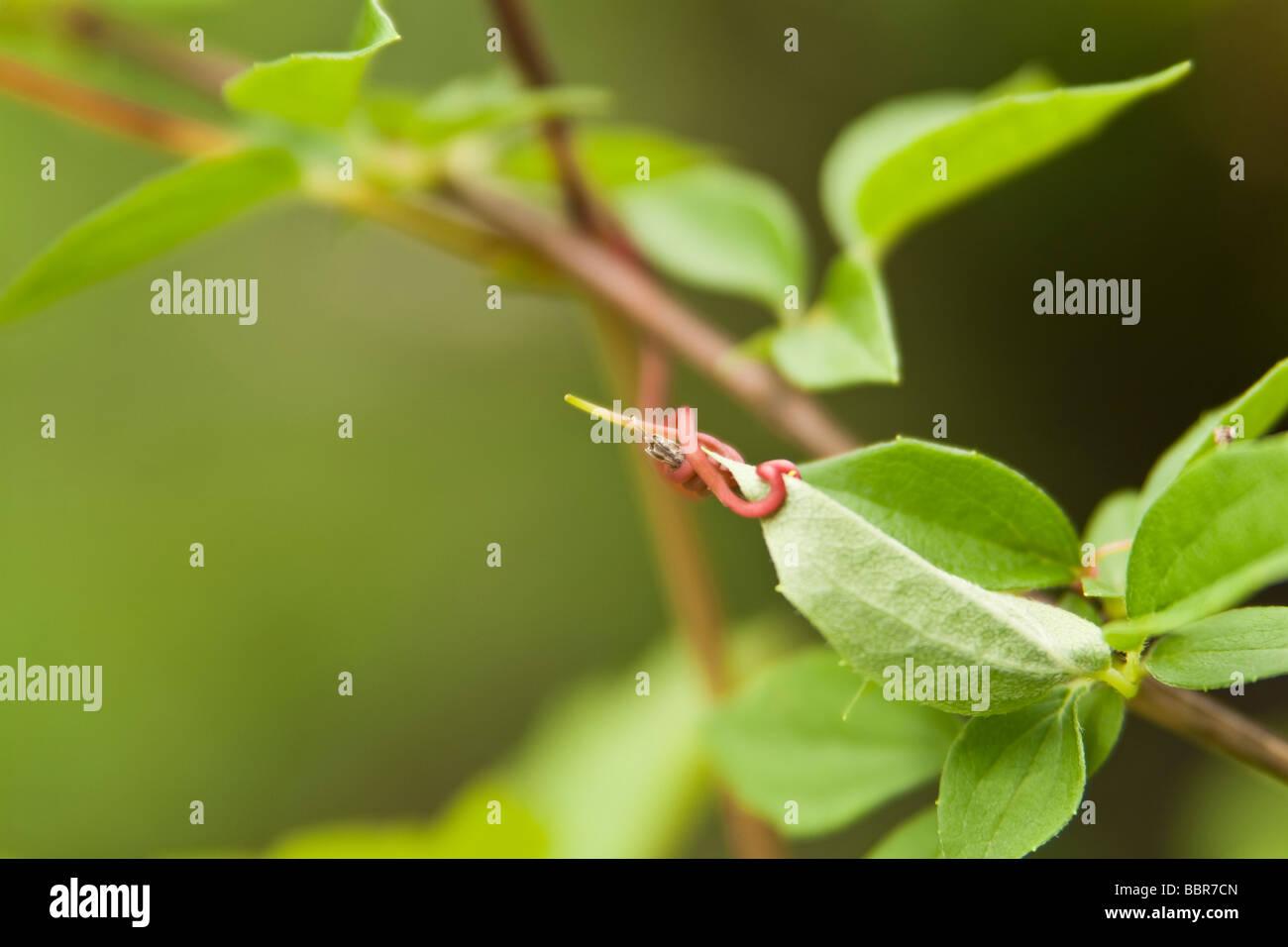 Makro Frühling Weinrebe Ranke um Blatt Stockbild