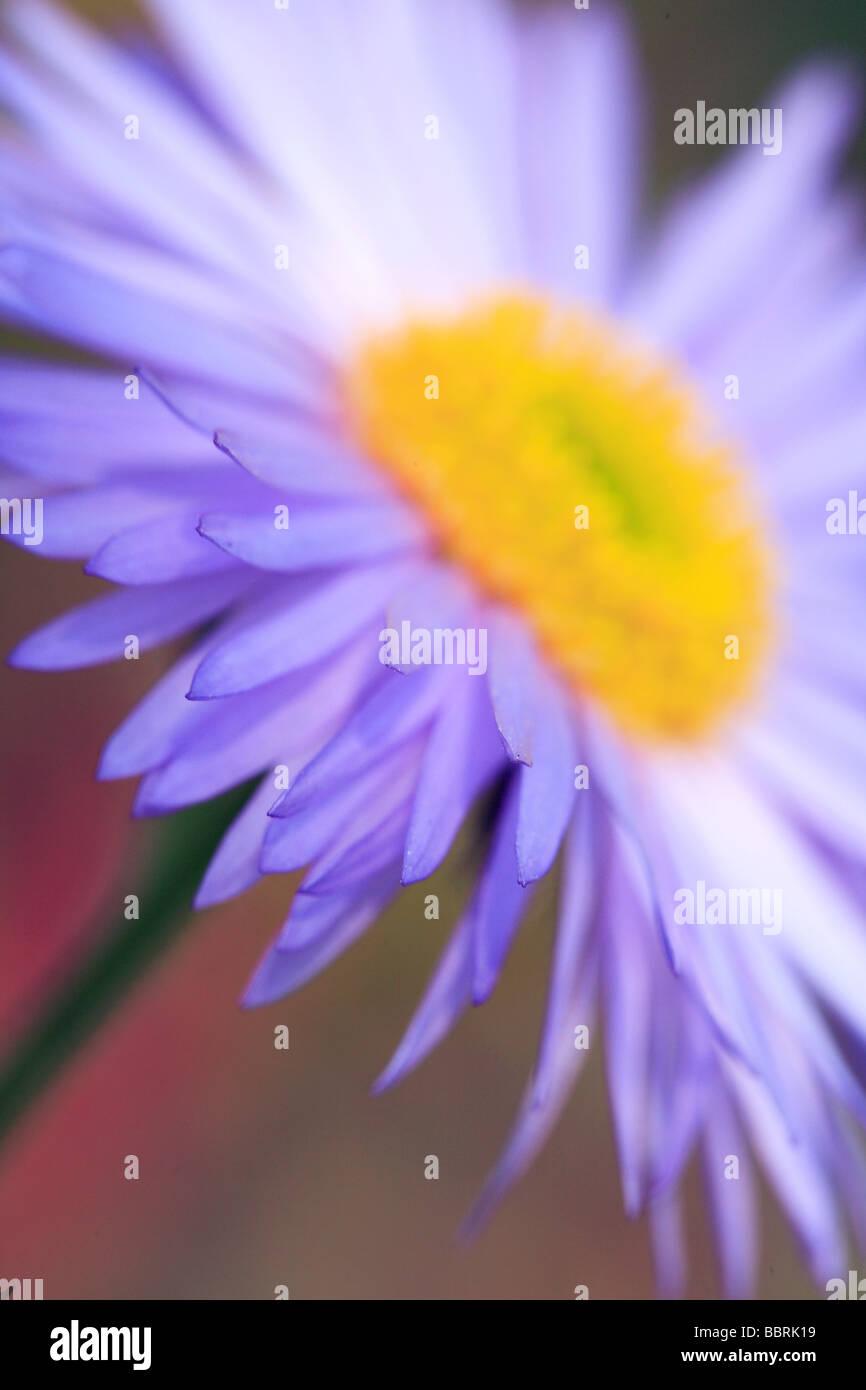 Townsendia Florifera auffällige Townsend Daisy Blume Stockbild