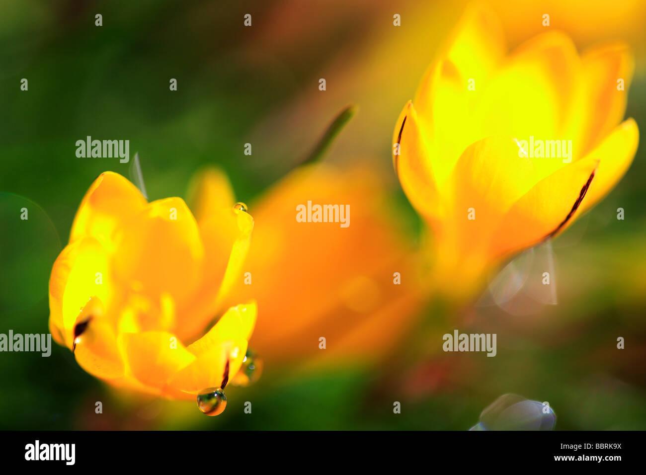 Ipheion Sellowianum falsche gelbe Krokus Blume Glasshouse England Frühling Stockbild