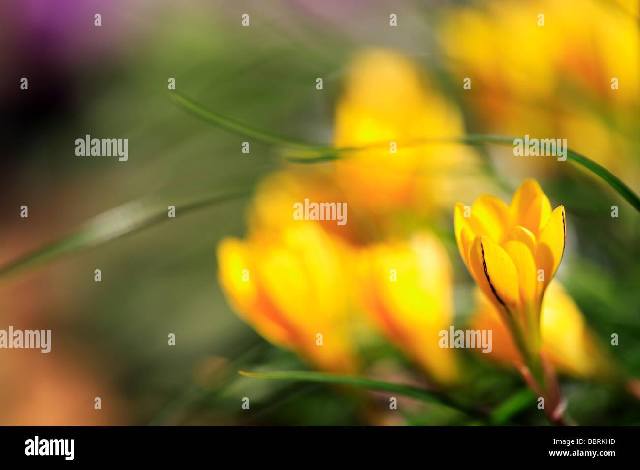 Ipheion Sellowianum falsche gelbe Krokus Alpine Pflanze Glasshouse England Frühling Stockbild