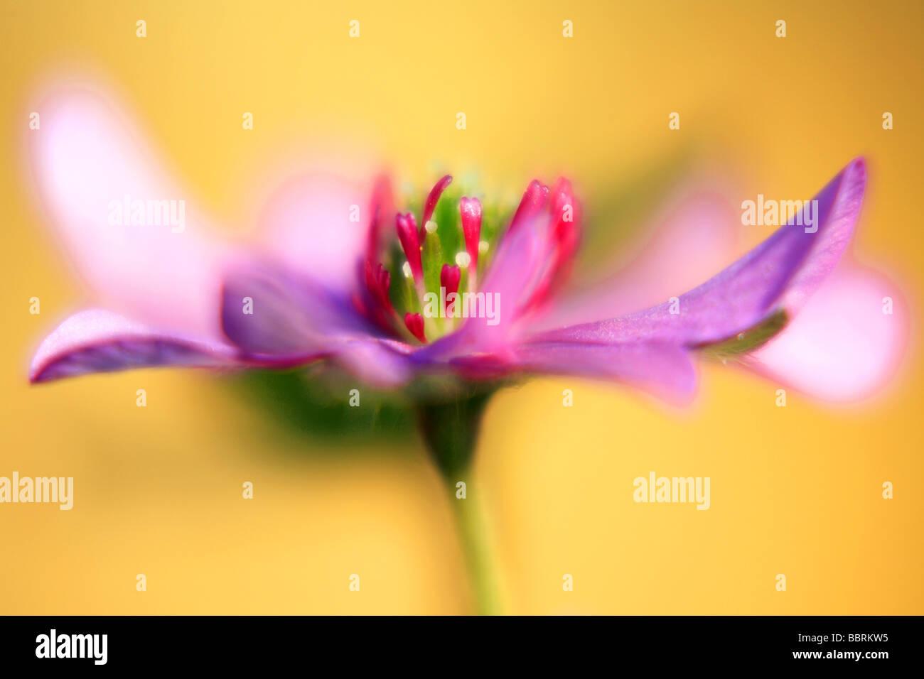 Hapatica Nobilis Var Japonica f Magna Schreber Leberblümchen Alpine Pflanze Glasshouse England Frühling Stockbild