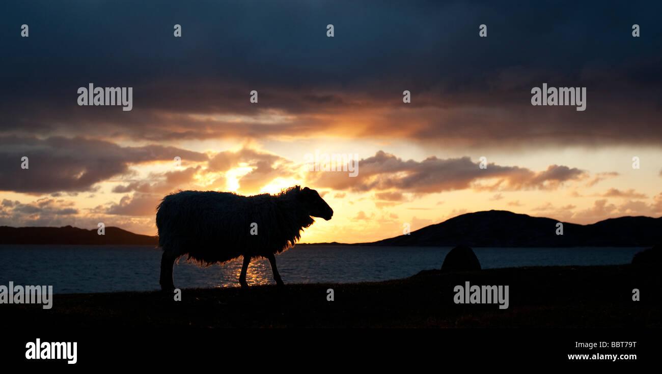 Schaf-Silhouette gegen Sonnenuntergang über Sound z., Isle of Harris, äußeren Hebriden, Schottland Stockbild