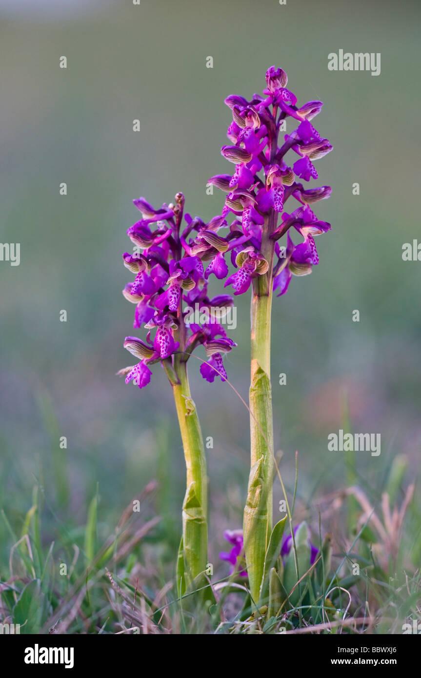 Green-winged Orchid oder Grün - Orchidee geädert (Orchis morio) Stockbild