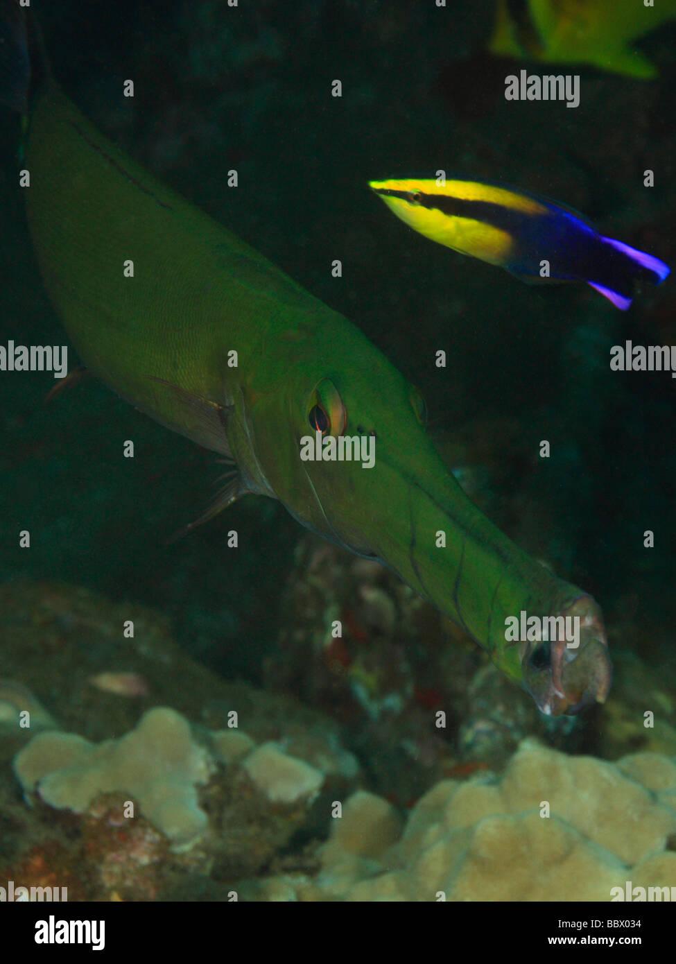 Giant Wrasse Fish Stockfotos & Giant Wrasse Fish Bilder - Alamy