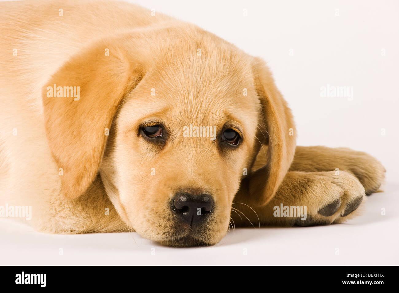 Golden Labrador Retriever Welpe Canis Familiaris Nahaufnahme Portrait von Labrador beliebte Arbeitshunde Stockbild