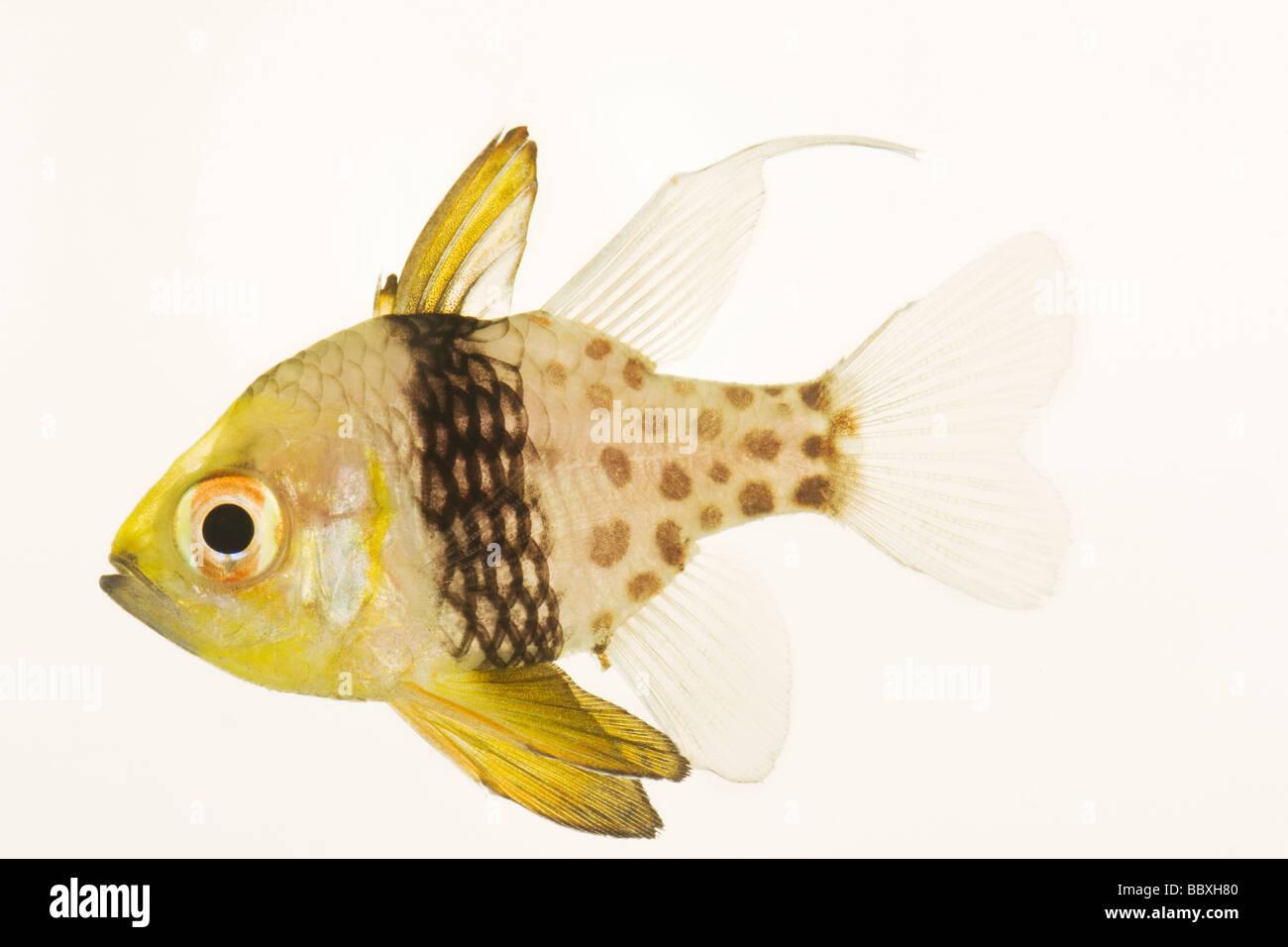 Polka Dot Kardinal Fische Sphaeramia Nematoptera Carnivorious tropischen marine Riff-Fische Stockbild
