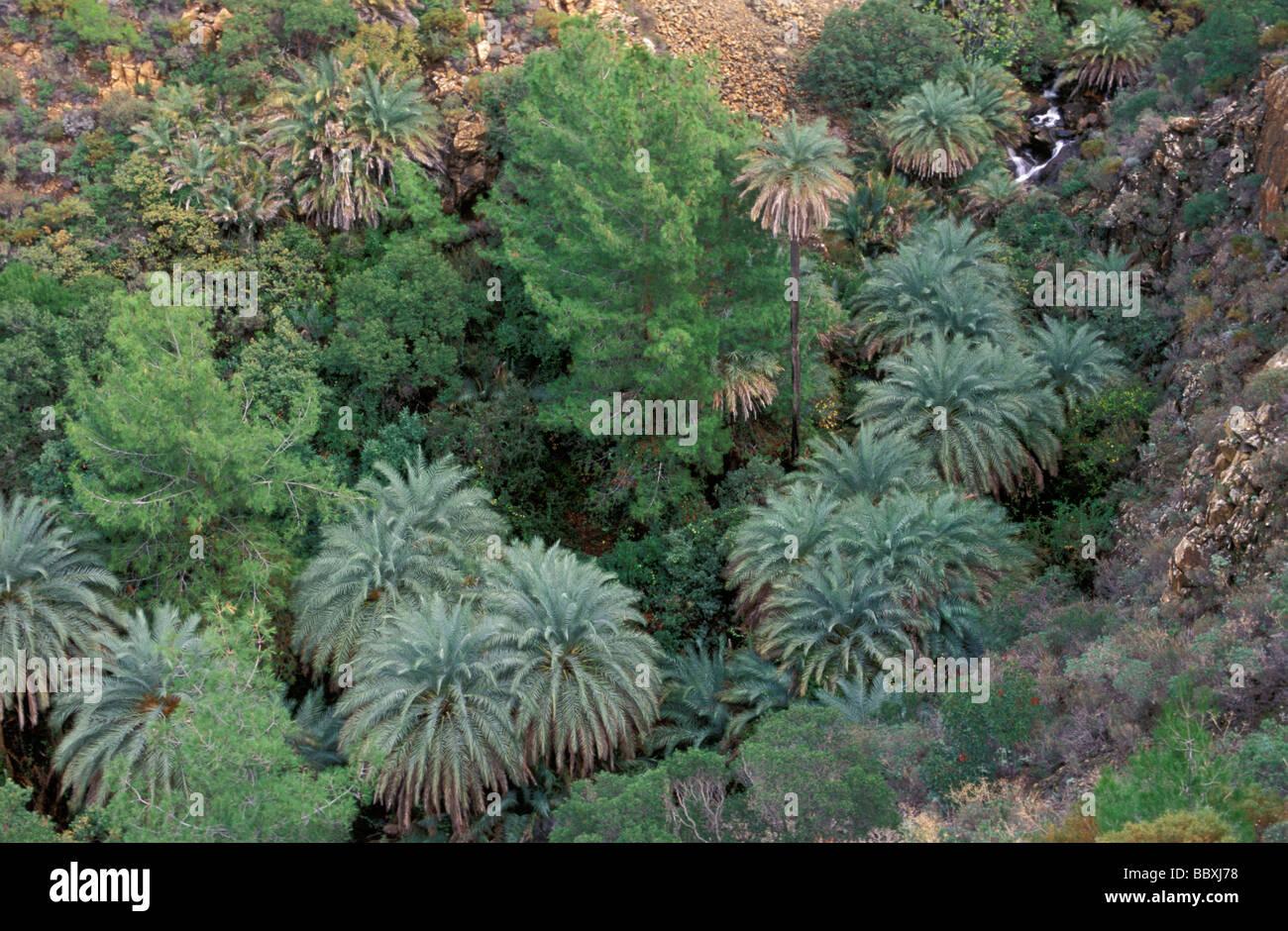 Kretische Dattelpalmen Phoenix Theophrastii in der Türkei Datca Halbinsel Stockbild