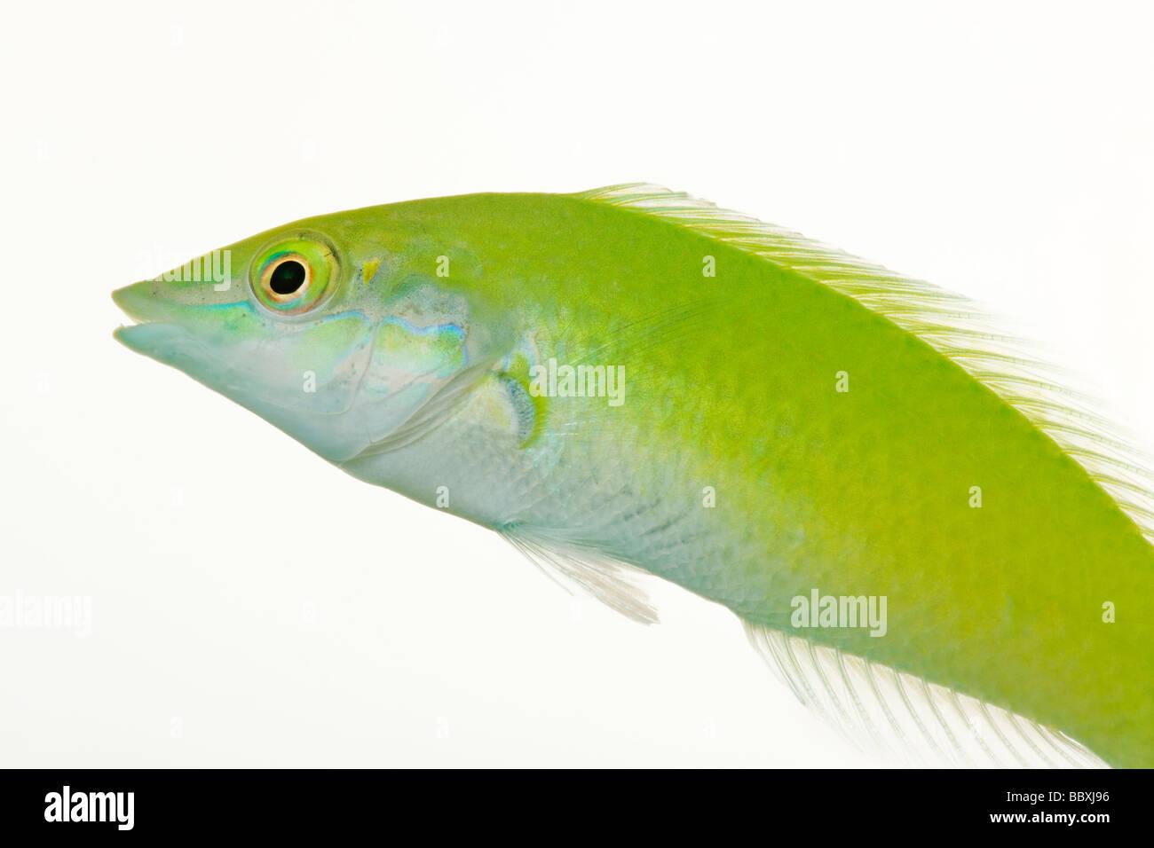 Grüner Lippfisch Halichoeres Chloropterus Tropical marine Riff-Fische Stockbild