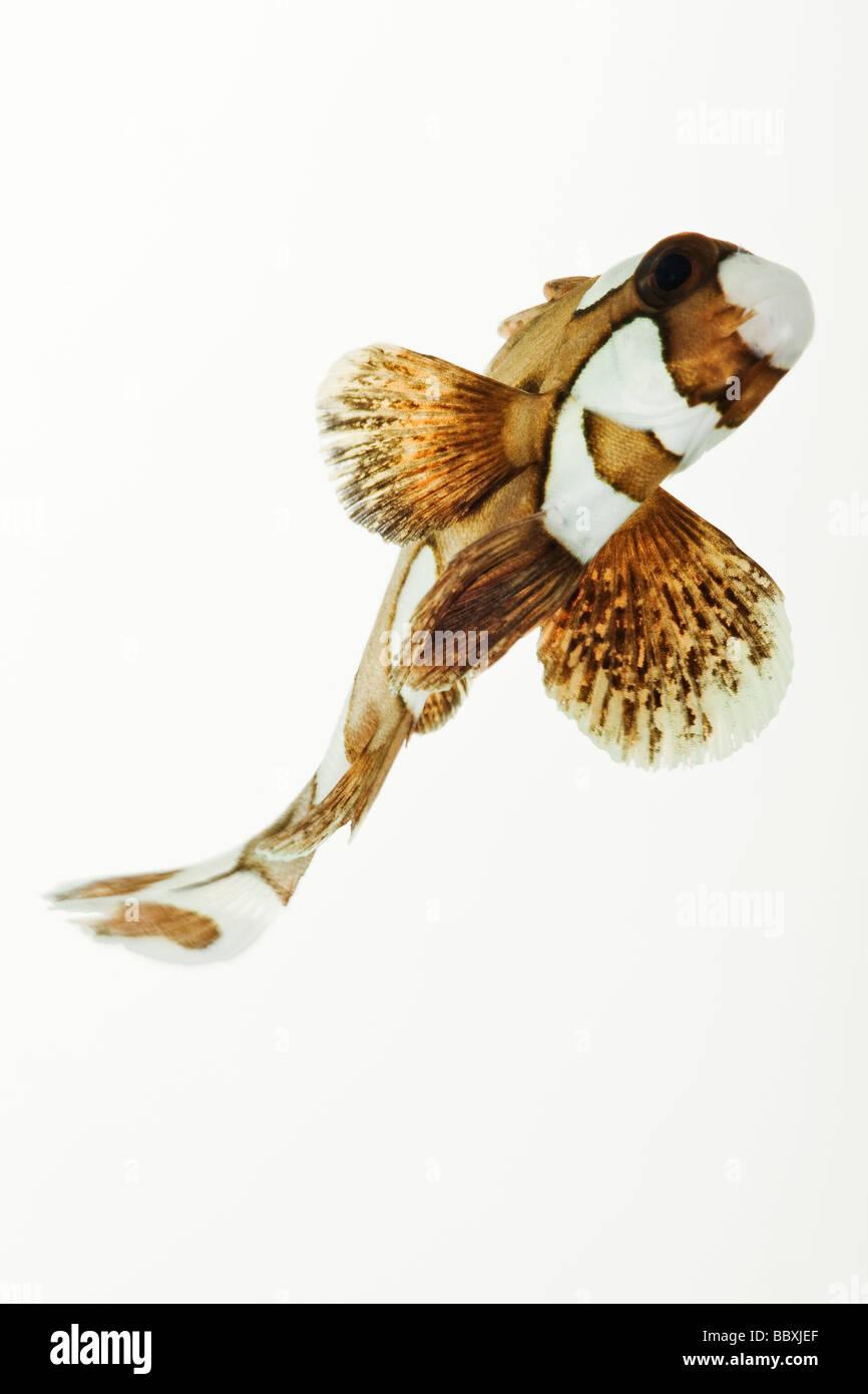 Clown Sweetlips Plectorhinchus Chaetodonoides Tropical Marine Riff-Fischen Stockbild