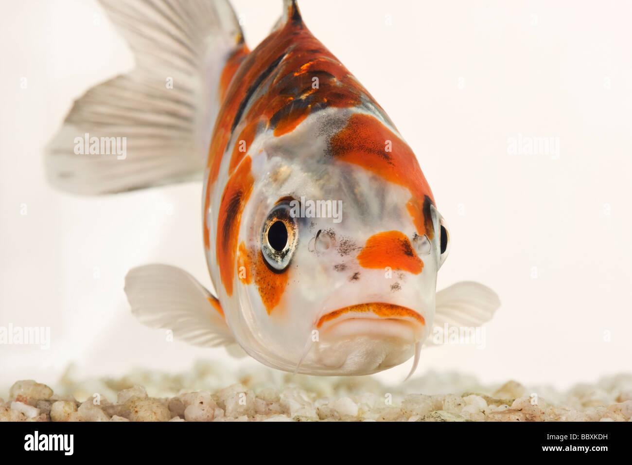 Carp stockfotos carp bilder alamy for Koi mit goldfischen