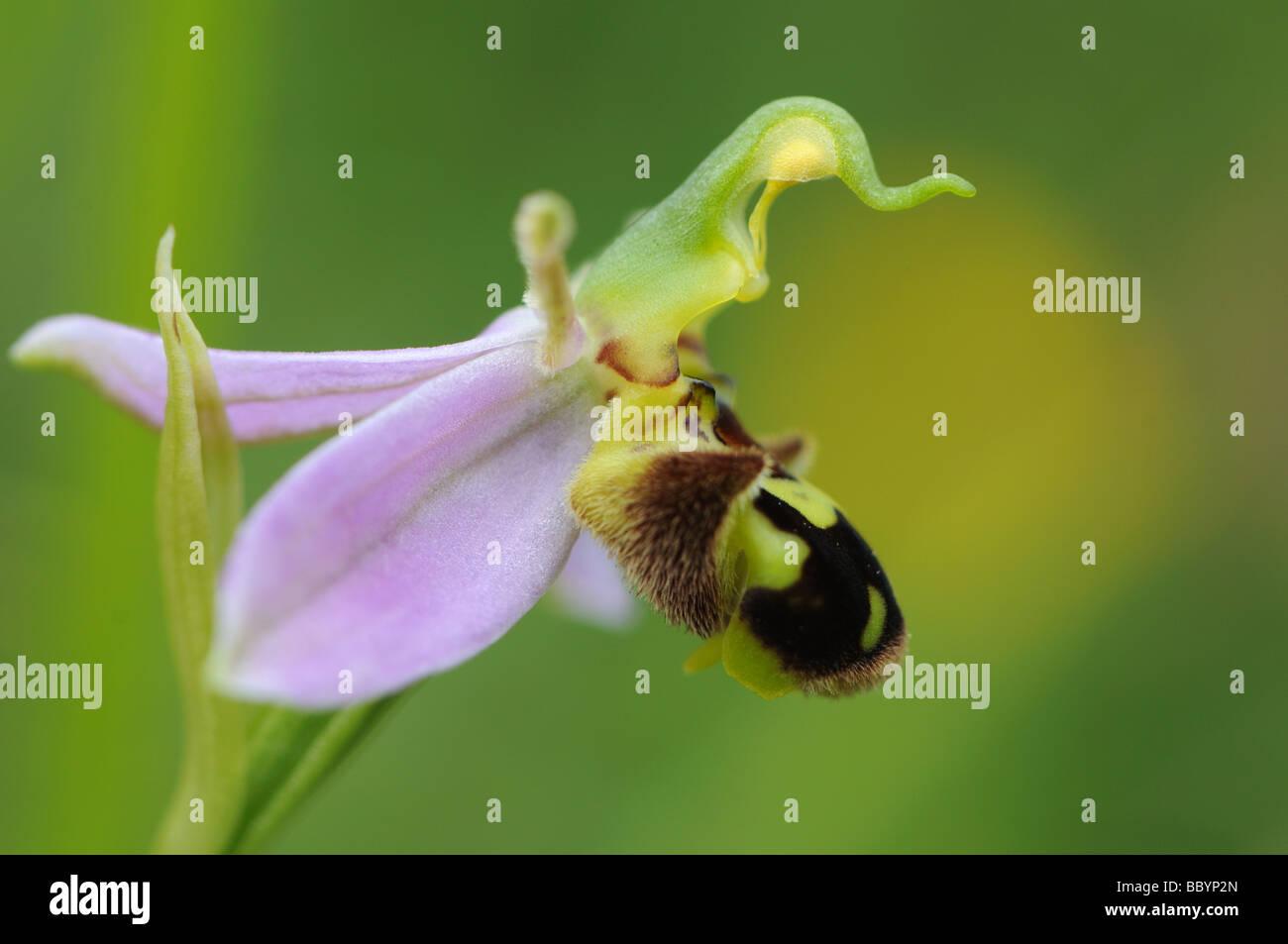 SideView Biene Orchidee (Ophrys Apifera) Stockbild