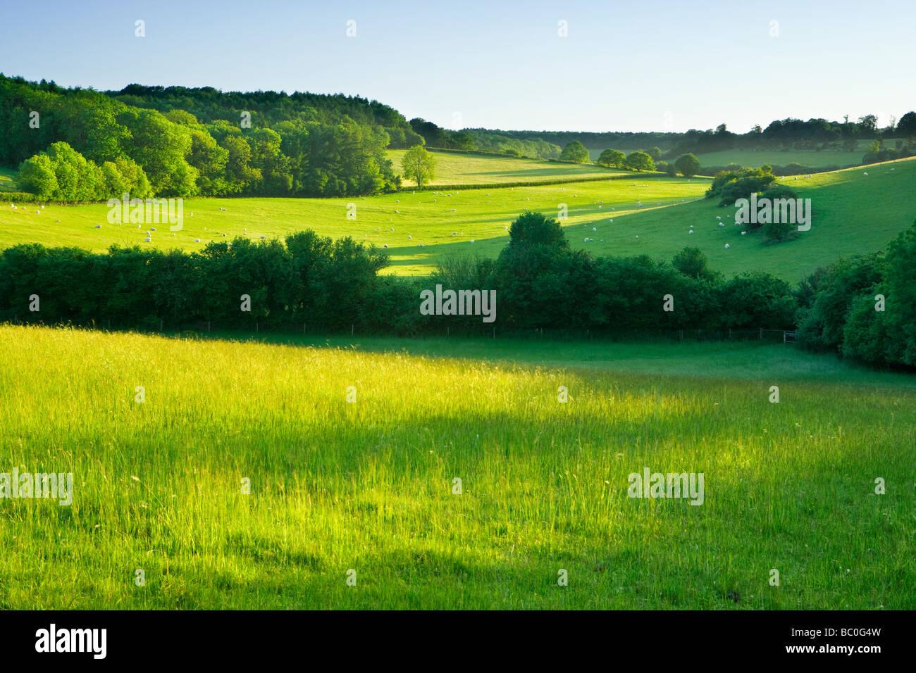 Felder mit Schafen auf North Downs in der Nähe von Dorking, Surrey, UK. Stockbild