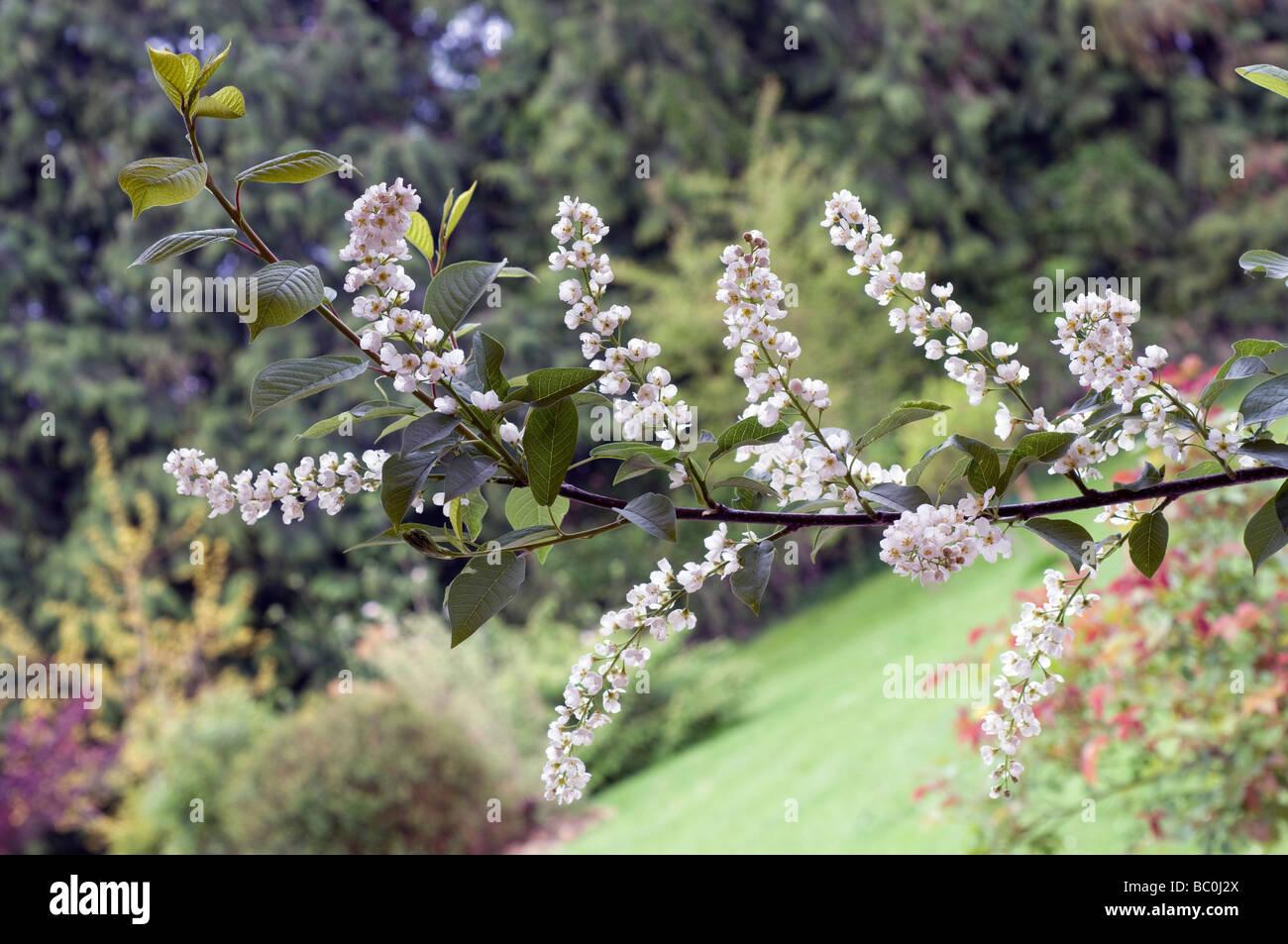 Europäischen Vogel-Kirsche Prunus padus Stockbild