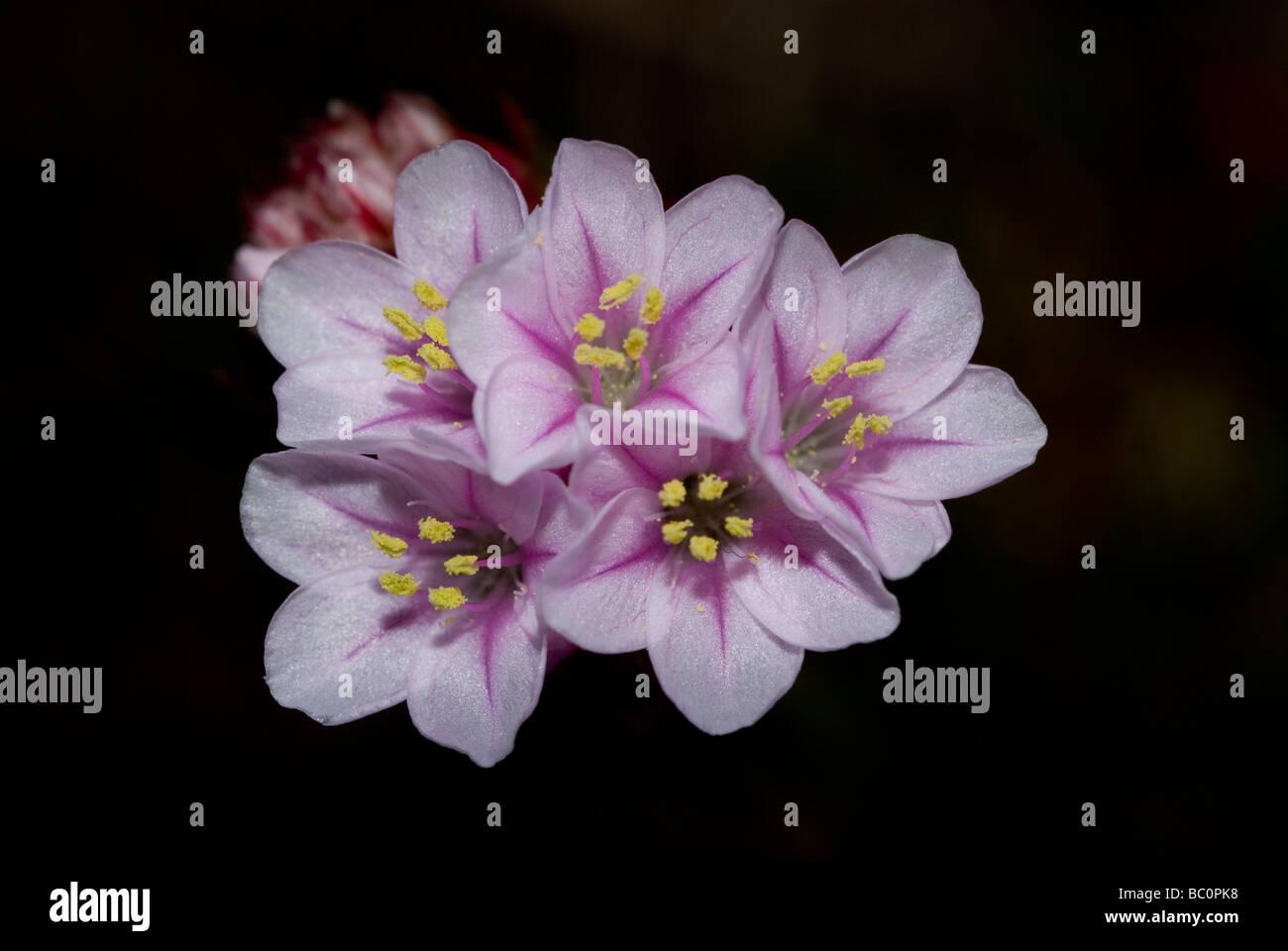 Blumen der Sparsamkeit (Armeria Pubigera) Stockbild