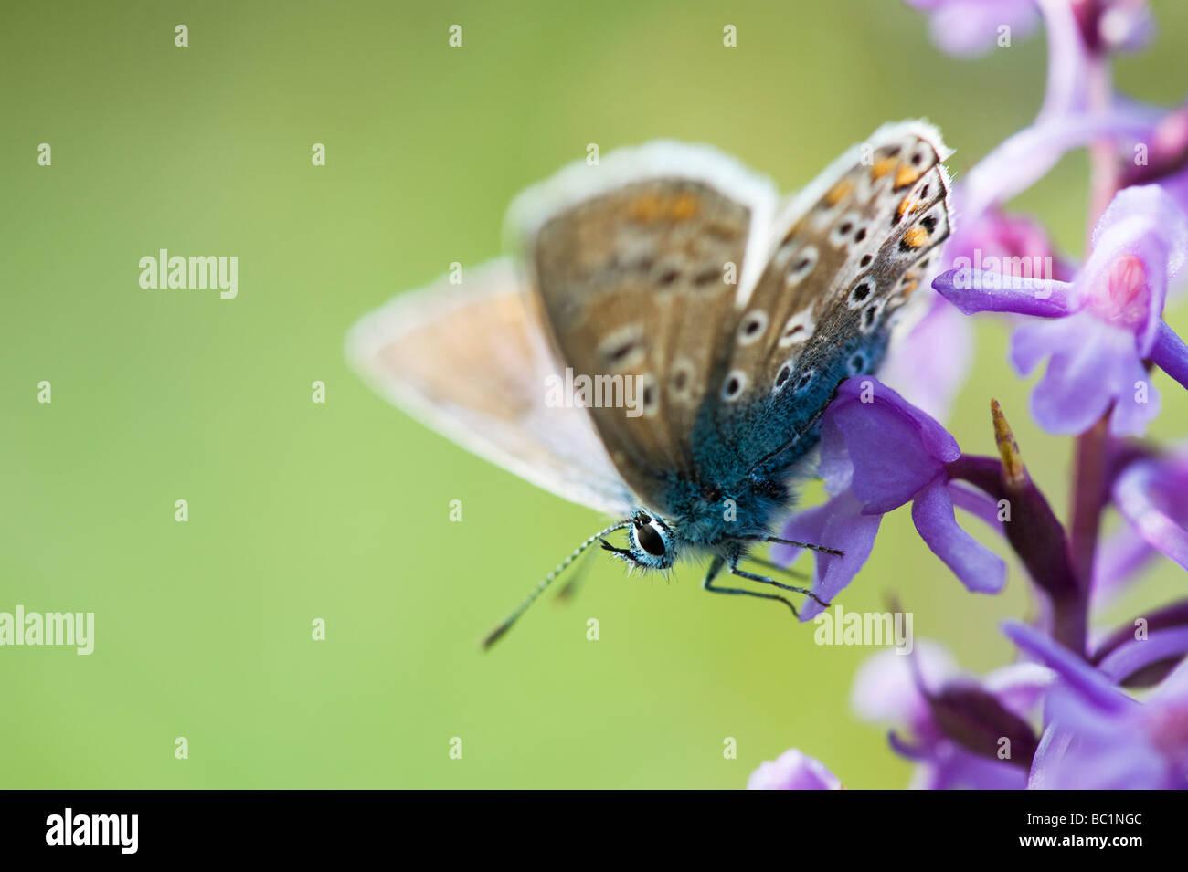 Polommatus Icarus. Gemeinsame blaue Schmetterling auf eine duftende Orchidee in der englischen Landschaft Stockbild