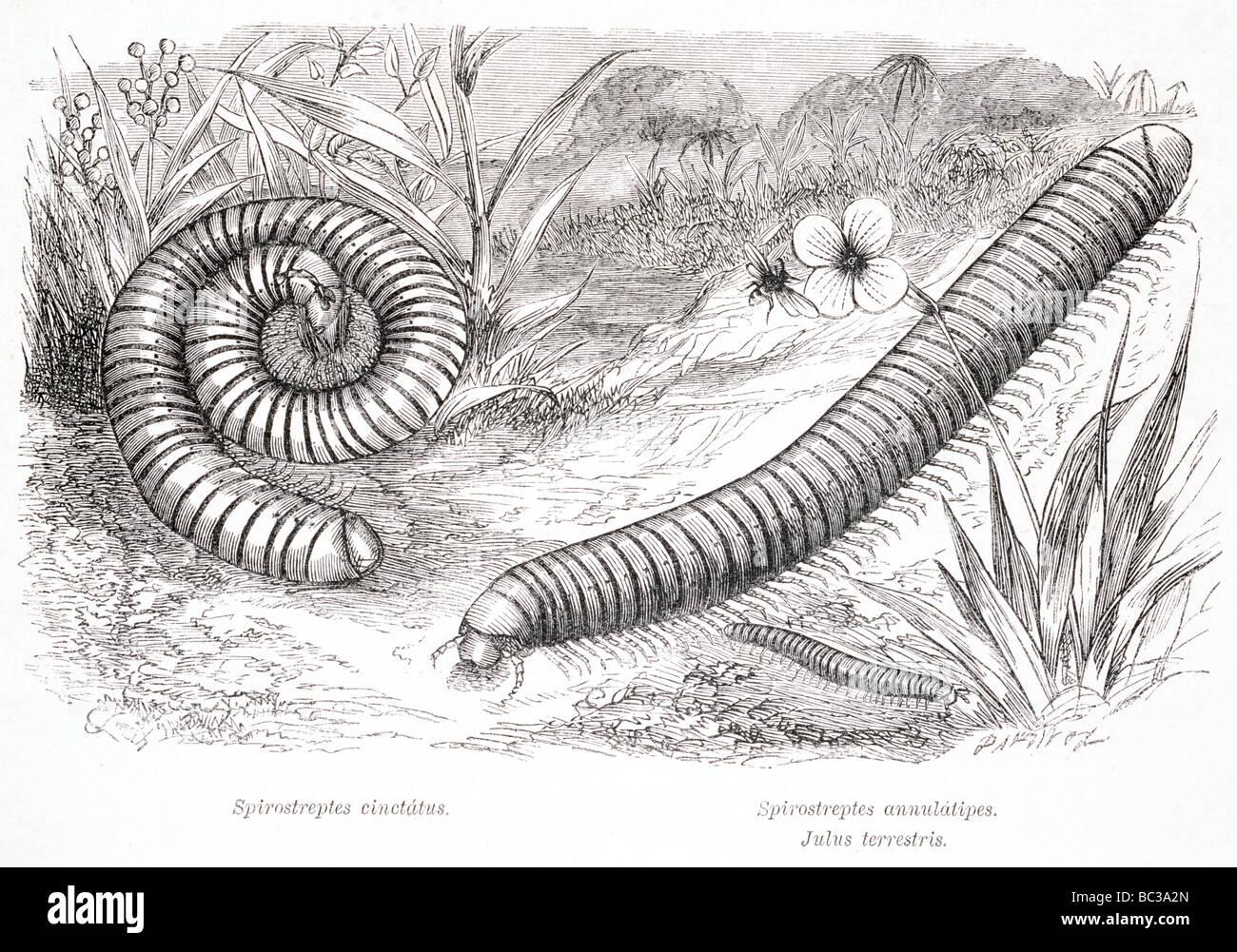 Spirostreptes Cinctatus Spirostreptes Annulatipes Julus terrestris Stockbild