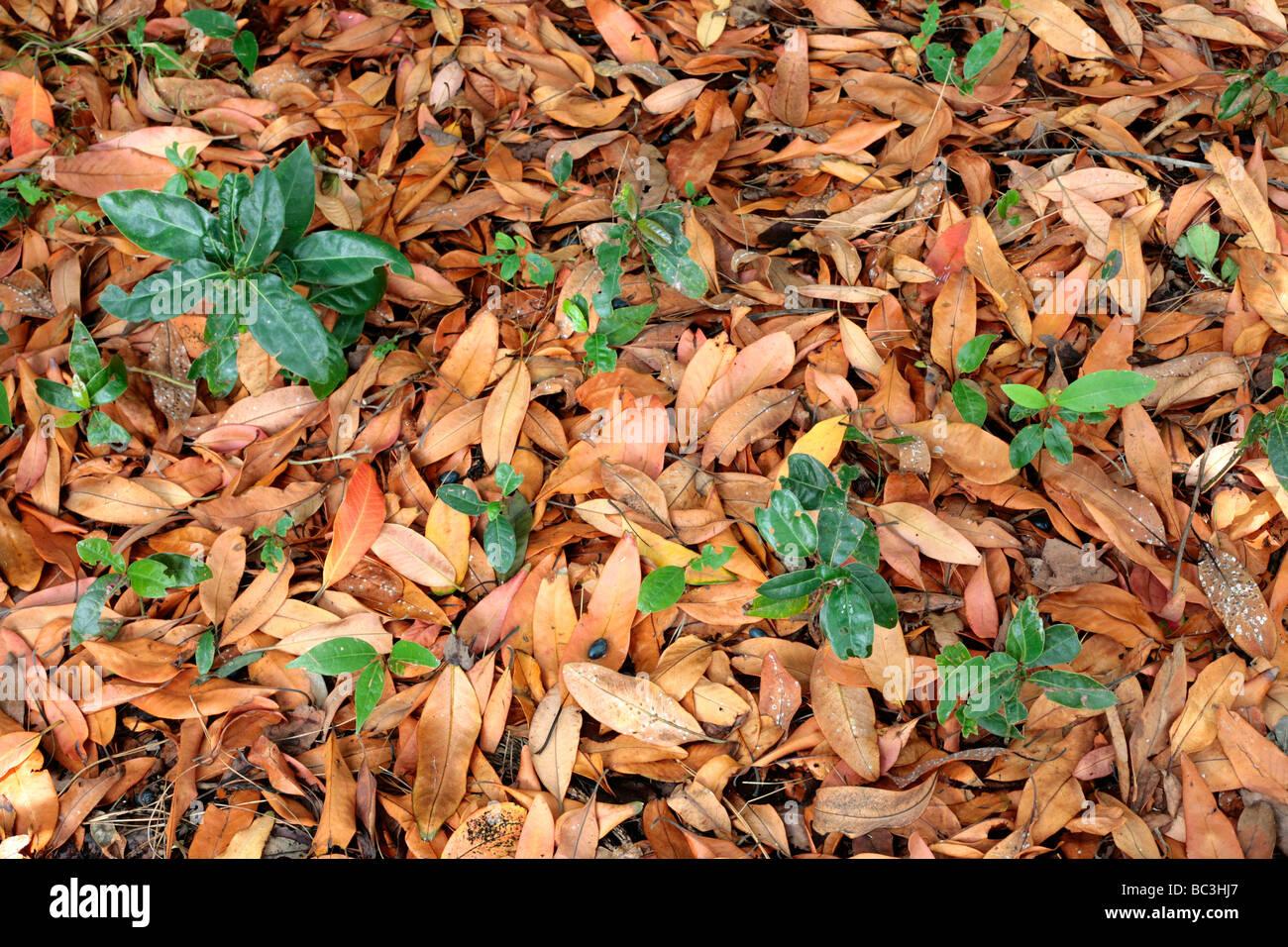 Laurel Waldboden mit Setzlingen, Beeren und alte Blätter Stockbild