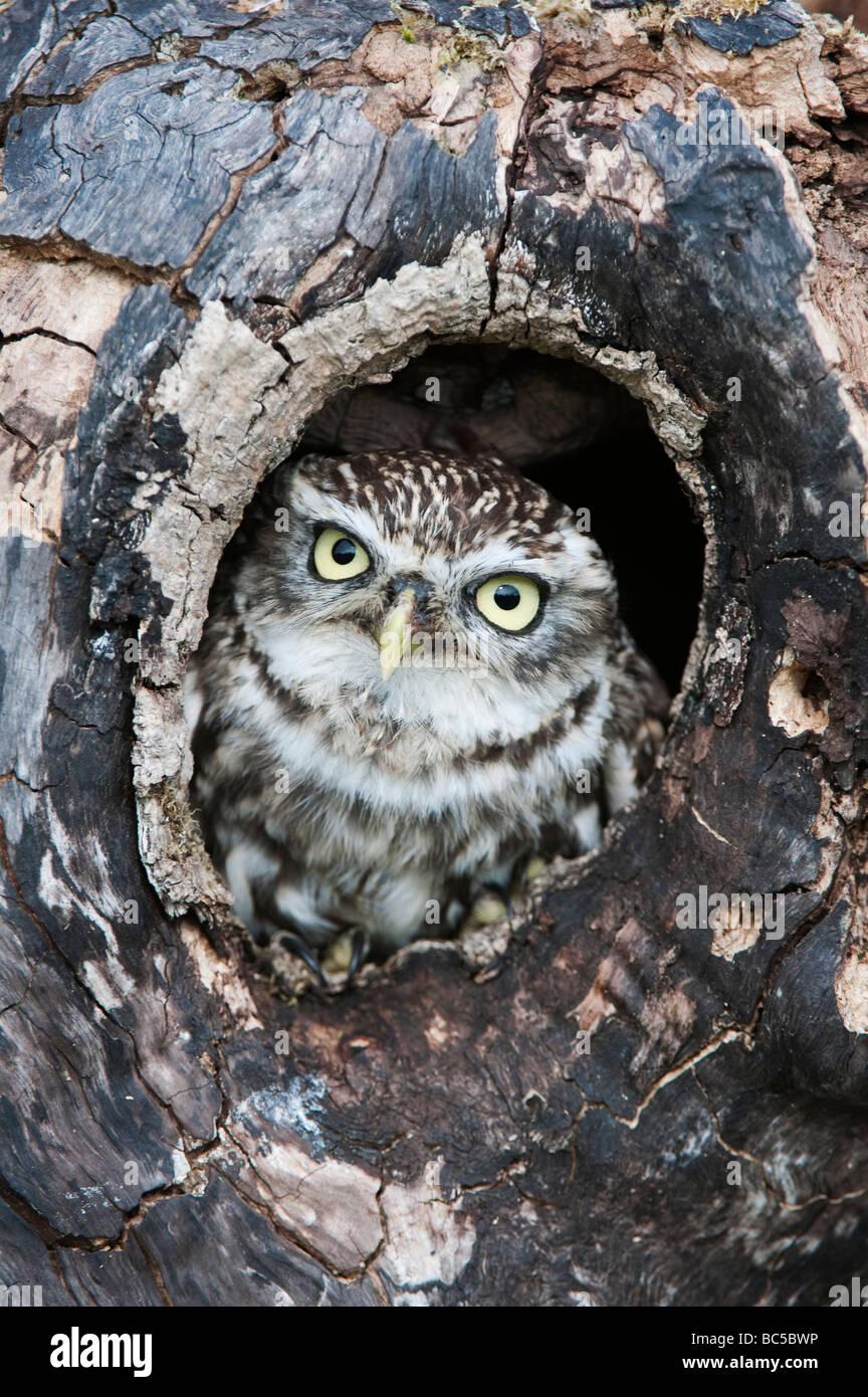 Athene noctua. Kleine Eule in einem Baum hohl in der englischen Landschaft Stockfoto