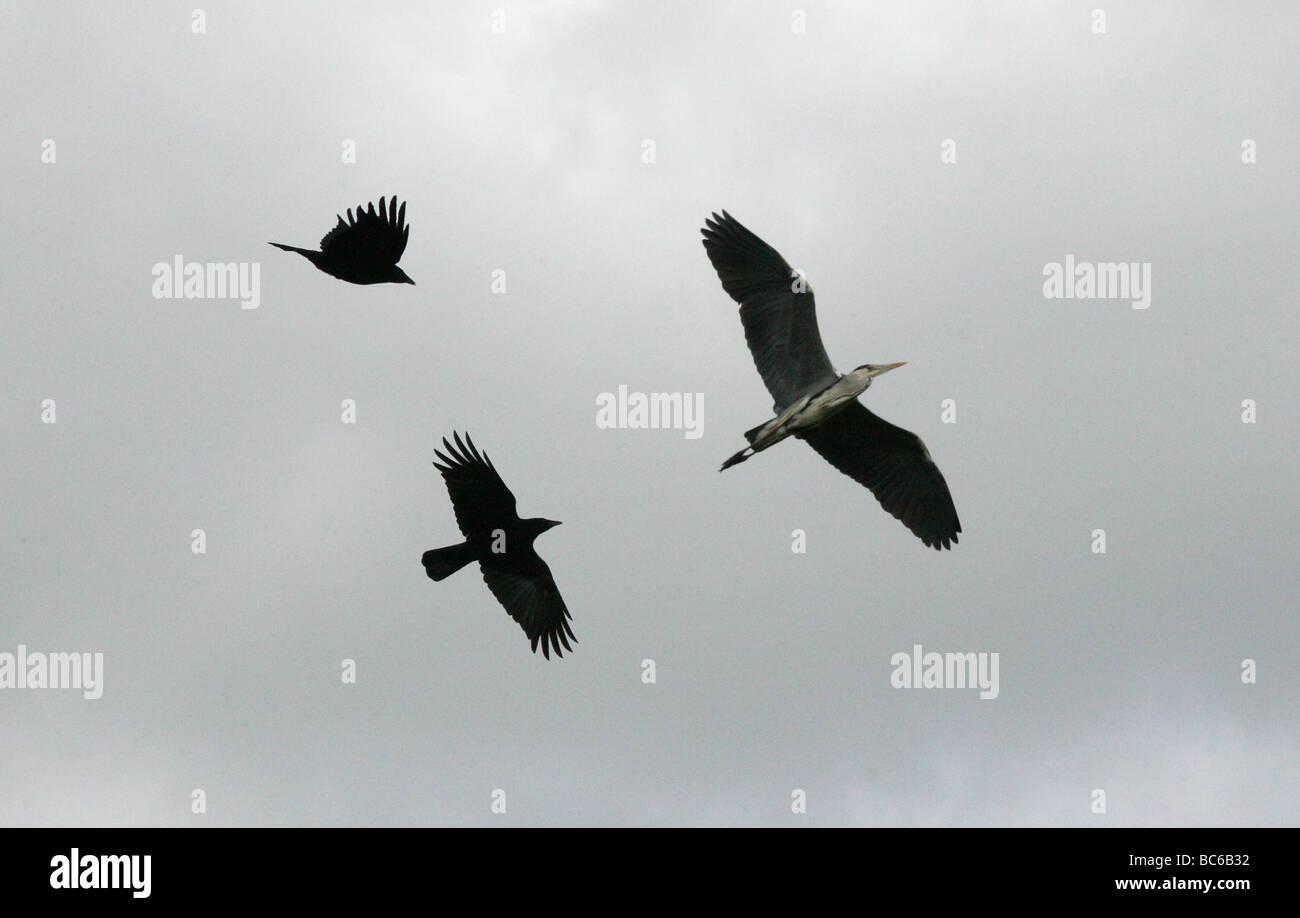 Graue Reiher, Ardea Cinerea, Glaubensbekennenden Krähen. Stockbild