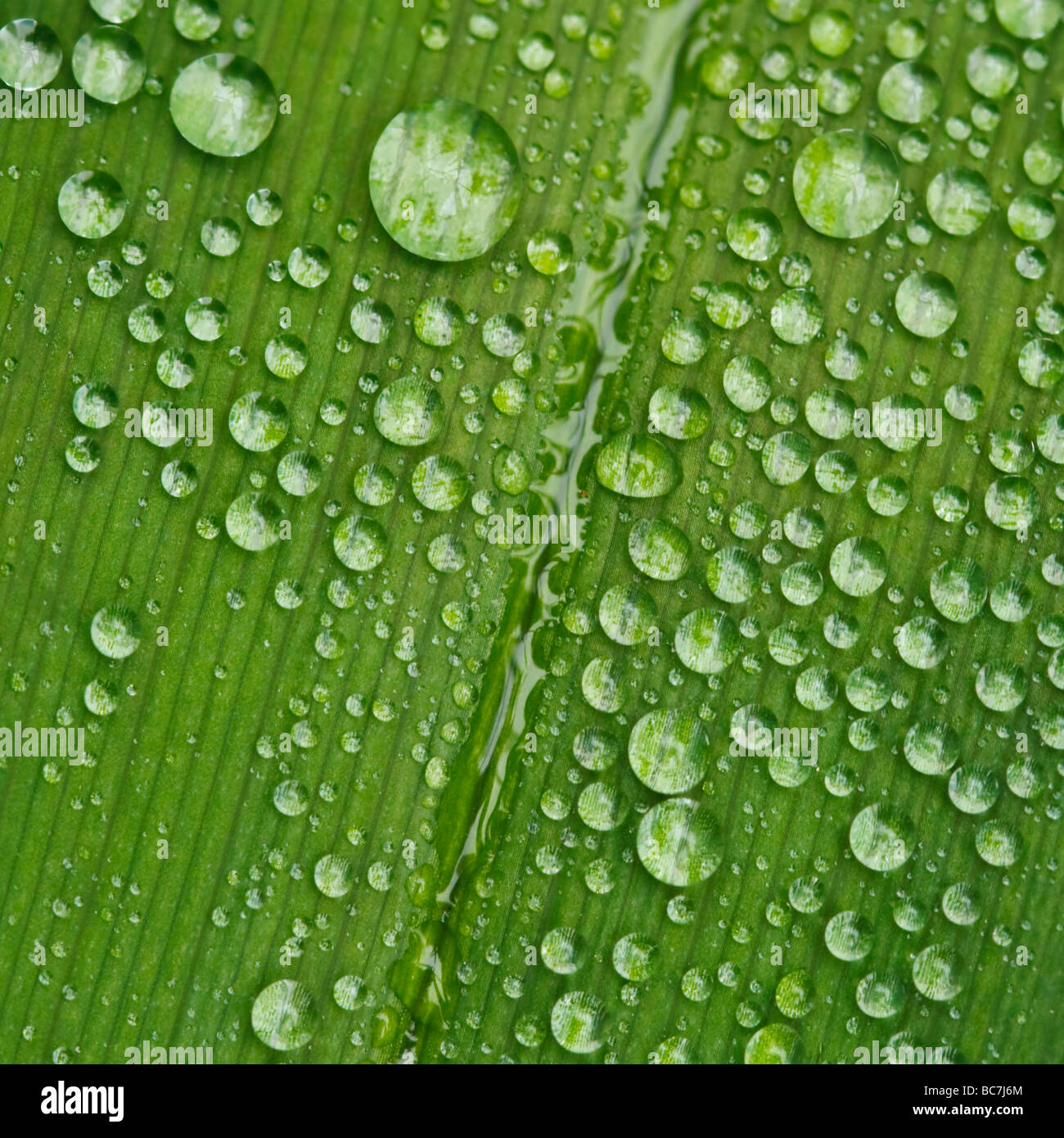 Regentropfen auf einem Taglilien-Blatt Stockbild