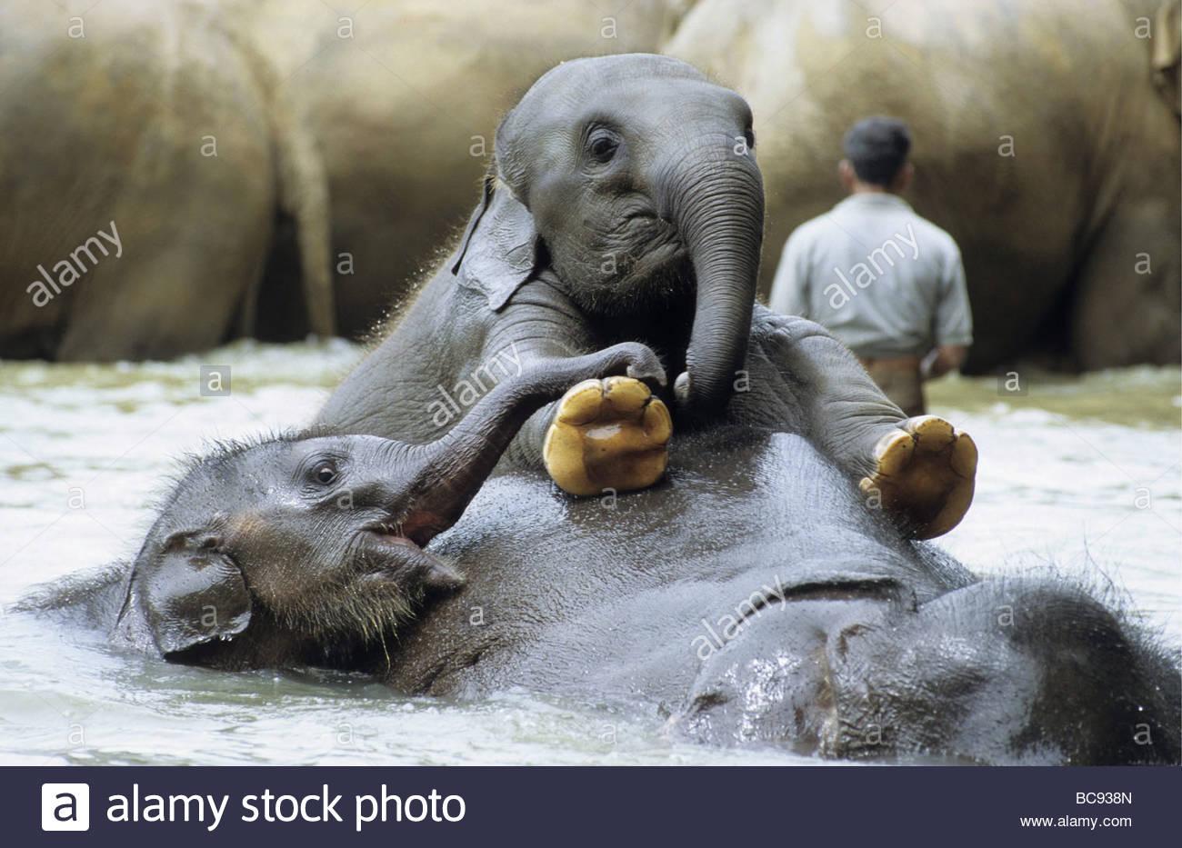 junge elefanten spielen im wasser pinnawela. Black Bedroom Furniture Sets. Home Design Ideas