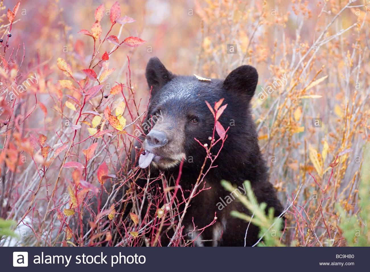 Ein schwarzer Bär frisst eine Blaubeere beim Hinzufügen von Gewicht für den Winterschlaf. Stockbild