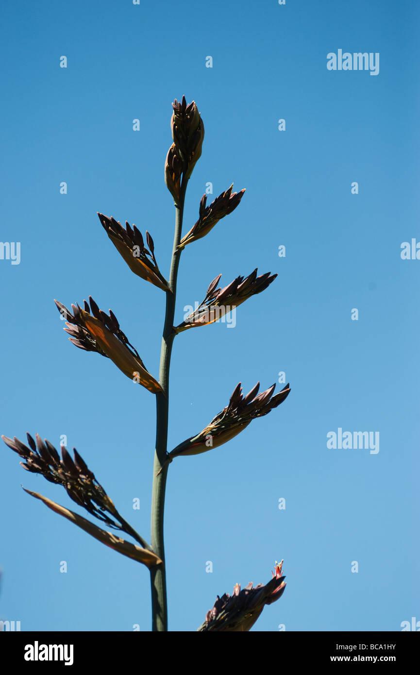 tenax new zealand flax stockfotos tenax new zealand flax bilder alamy. Black Bedroom Furniture Sets. Home Design Ideas