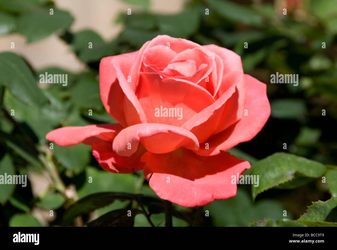 Pink Red Flower Stockfotos Pink Red Flower Bilder Alamy