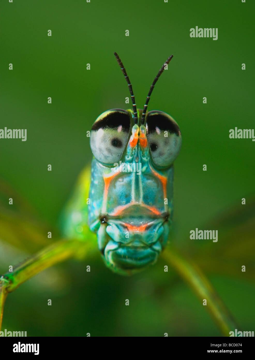 Affe GRASSHOPPER (Eumastax sp) Panama Stockbild