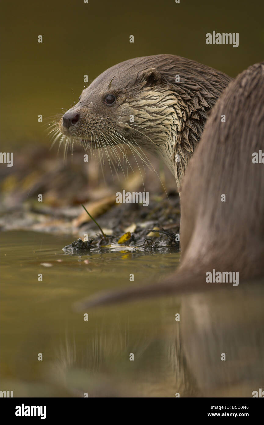 Otter (Lutra Lutra) am Flussufer. Surrey. In Gefangenschaft Stockbild