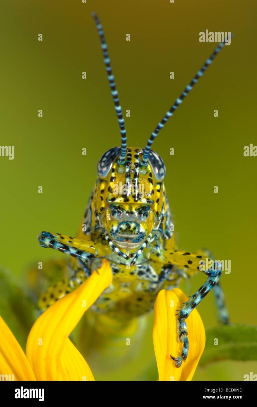 PANTHER GESICHTET GRASSHOPPER (Poecilotettix Pantherinus) heimisch in Süd-Arizona und Nordwesten Mexikos. Stockbild