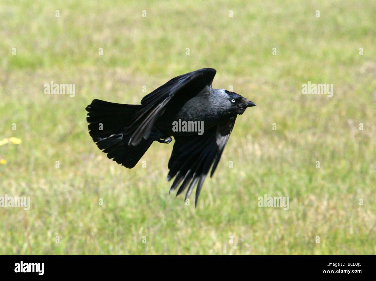 Dohle, Corvus Monedula, gefüttert. Stockbild