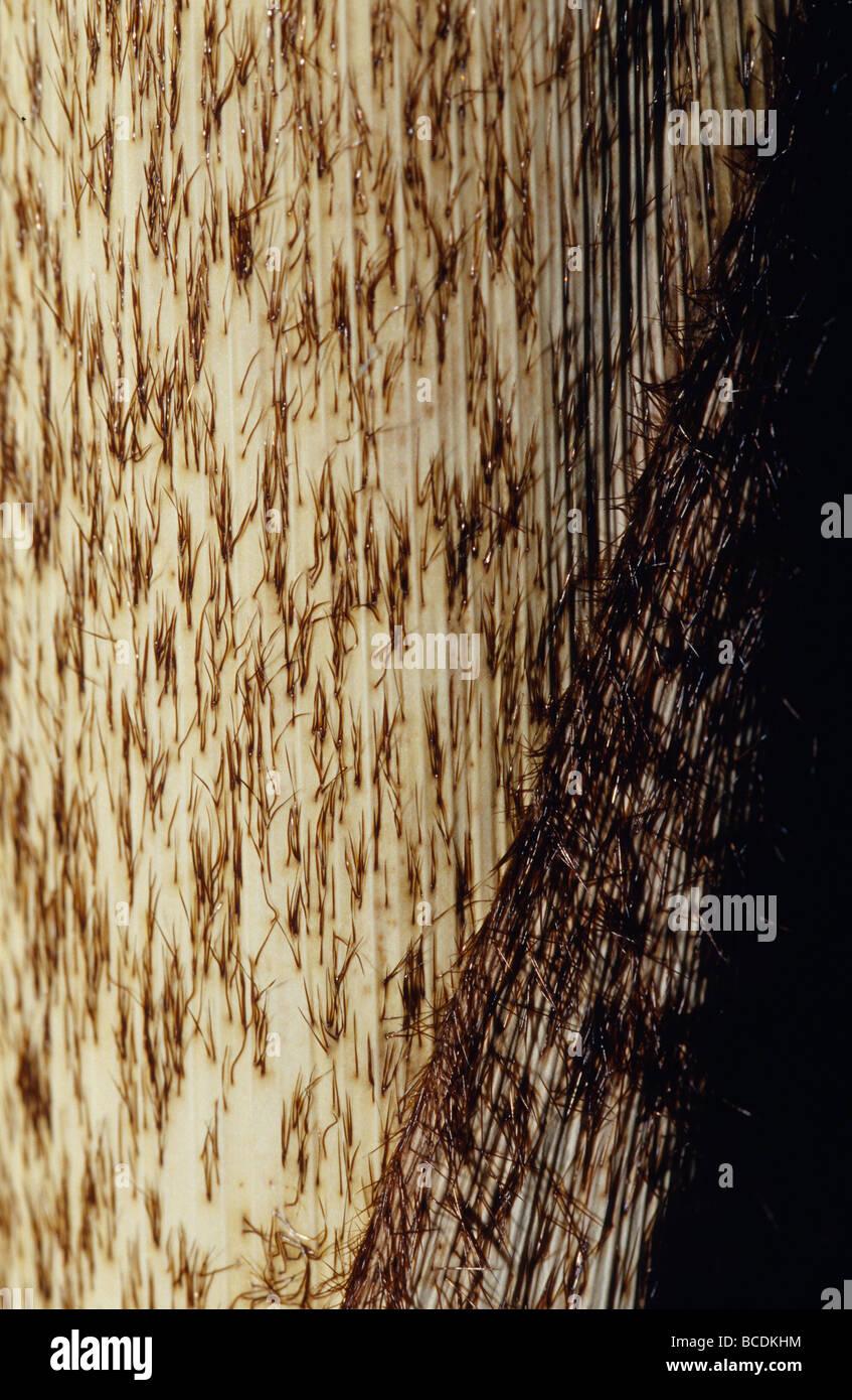 Lastige Haare Mantel Neues Wachstum Auf Berg Bambus Arundinaria