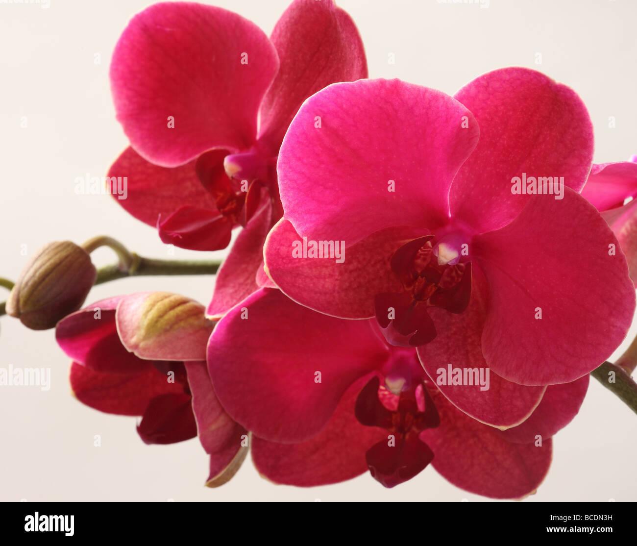 Lila Orchidee blüht Orchideen hautnah Phalaenopsis Stockbild
