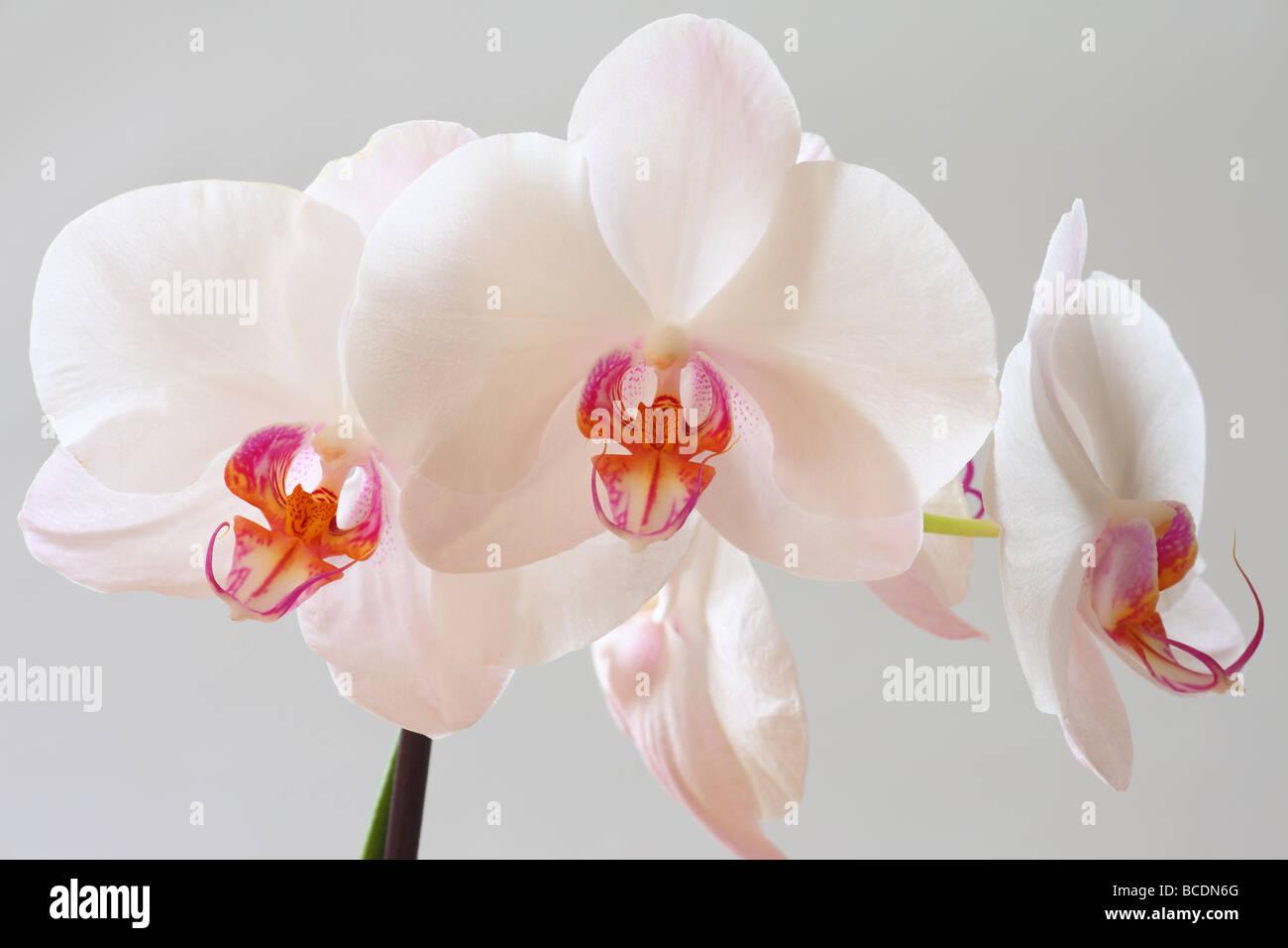 Weiße Orchidee blüht Orchideen hautnah Phalaenopsis Stockbild