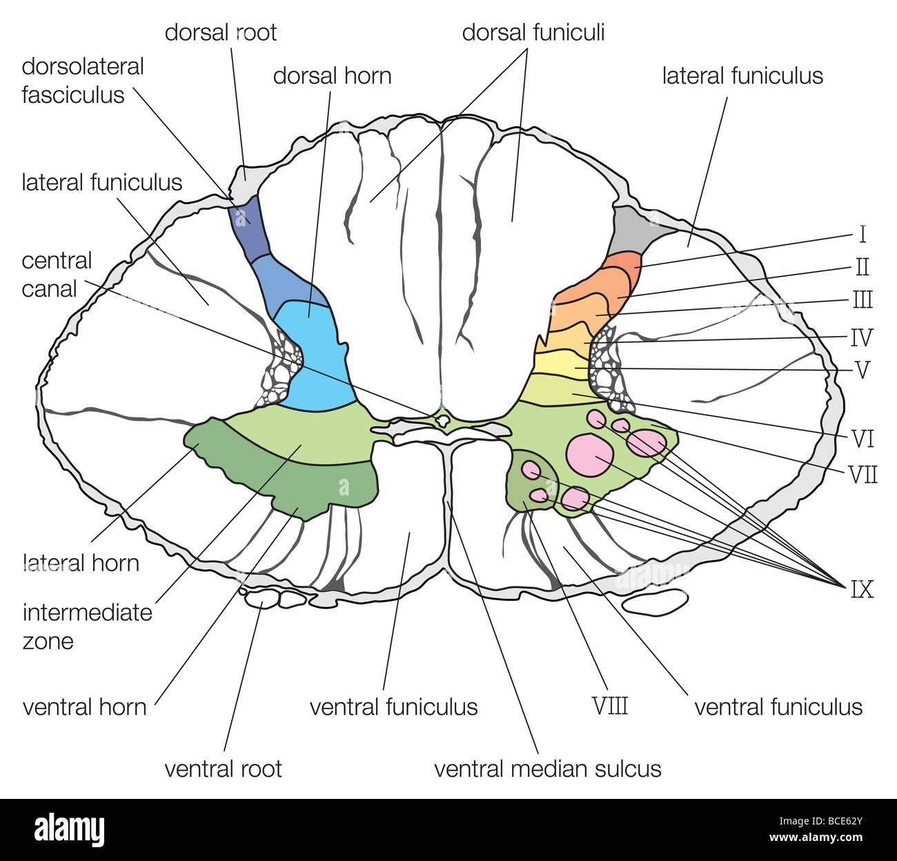 Tolle Querschnitt Des Rückenmarks Bilder - Menschliche Anatomie ...