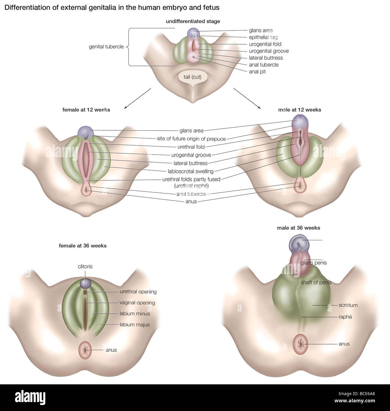 Differenzierung der externen Genitalien in den menschlichen Embryo ...