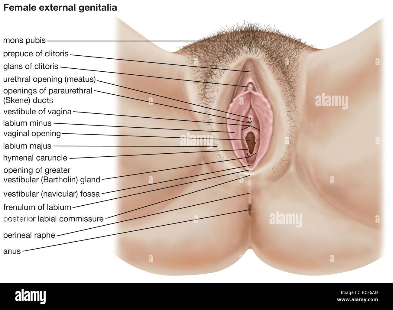 Die menschlichen weiblichen äußeren Genitalien Stockfoto, Bild ...